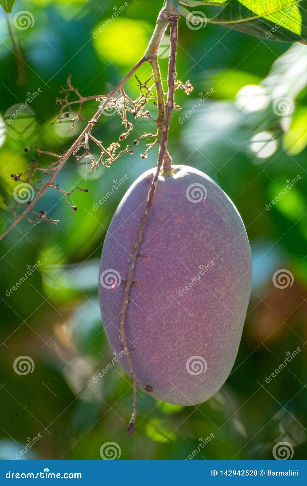 Tropische mangoboom met grote rijpe mangovruchten die in boomgaard op Gran Canaria-eiland, Spanje groeien Cultuur van mangovrucht