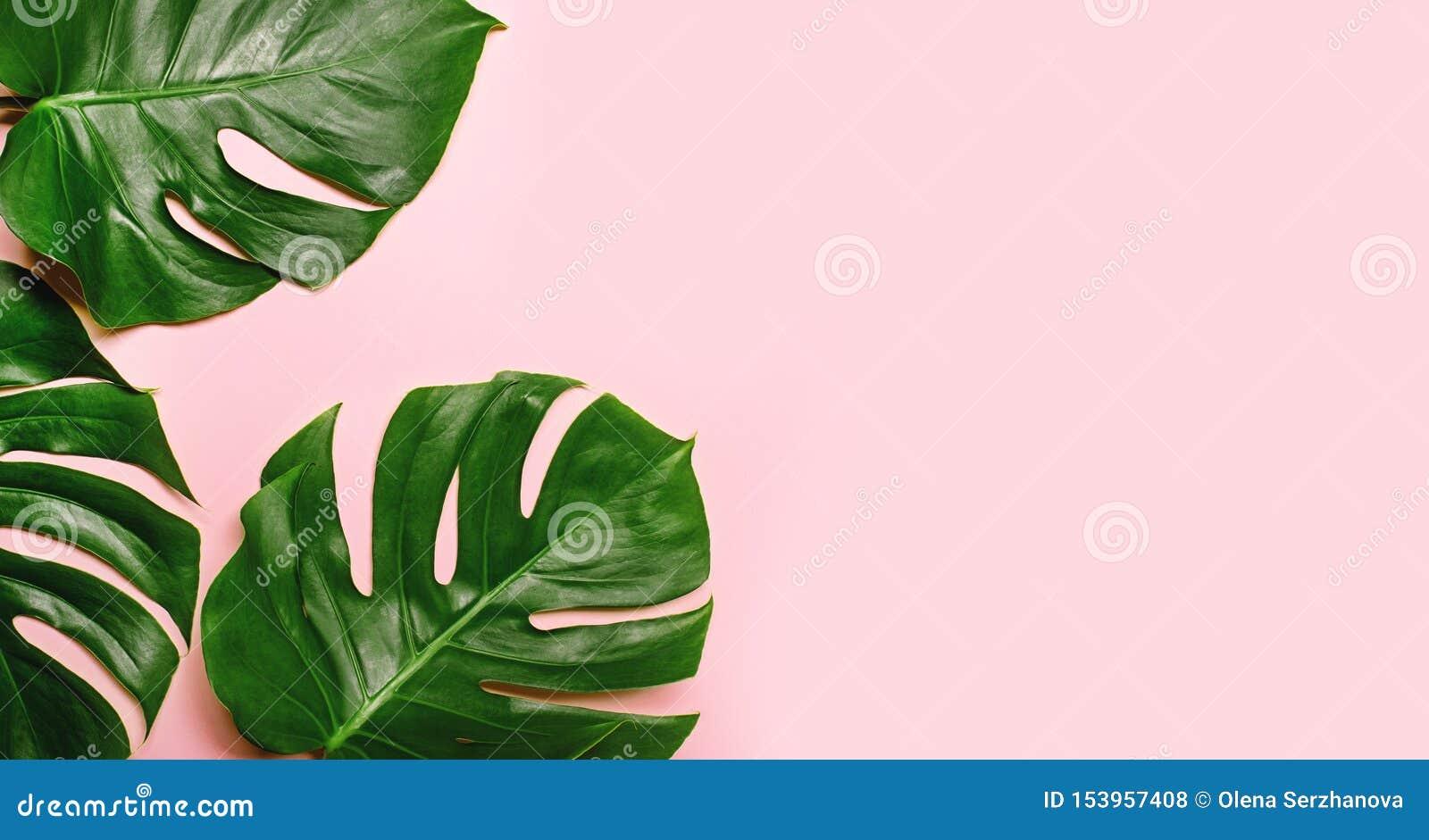 Tropische monstera Bl?tter auf rosa Hintergrund