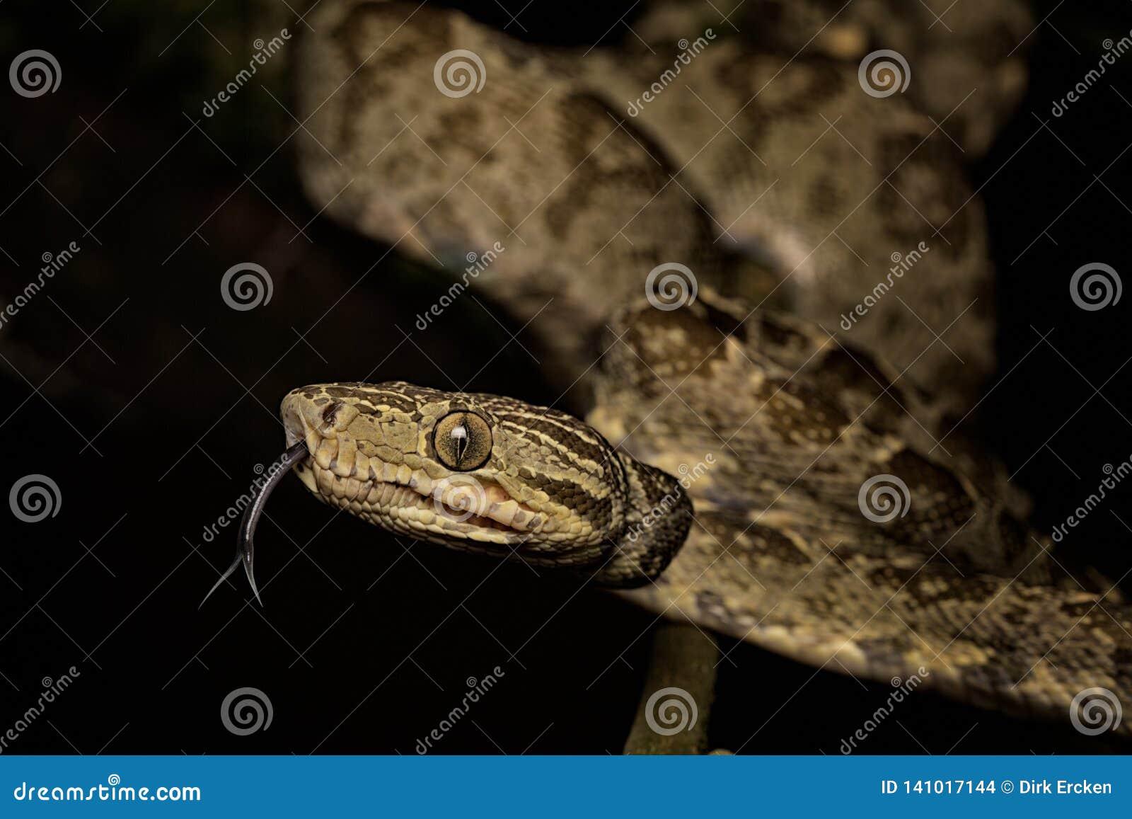 Amazonas Schlange