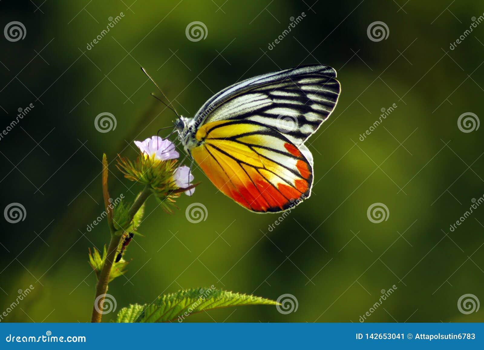 Tropische Schmetterlings-Thailand-Landung auf oberster rosa Blume