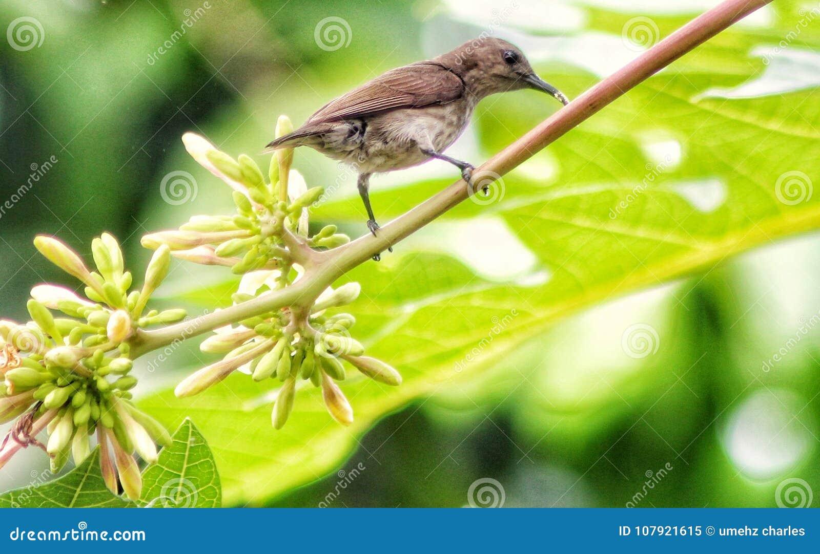 Tropische sunbird