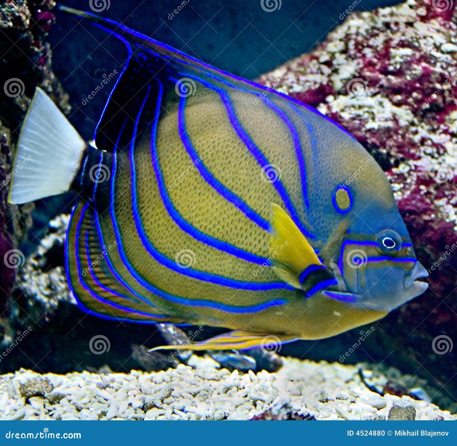 Tropische Vissen 23 Stock Foto   Afbeelding  4524880