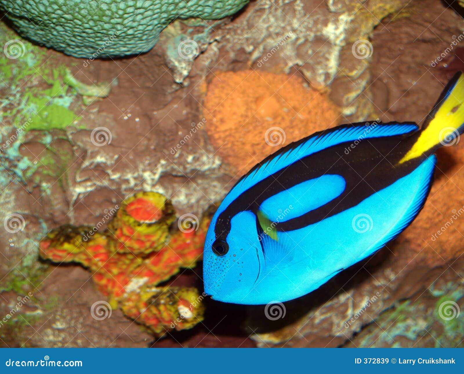 Tropische Vissen Royalty vrije Stock Afbeeldingen   Afbeelding  372839