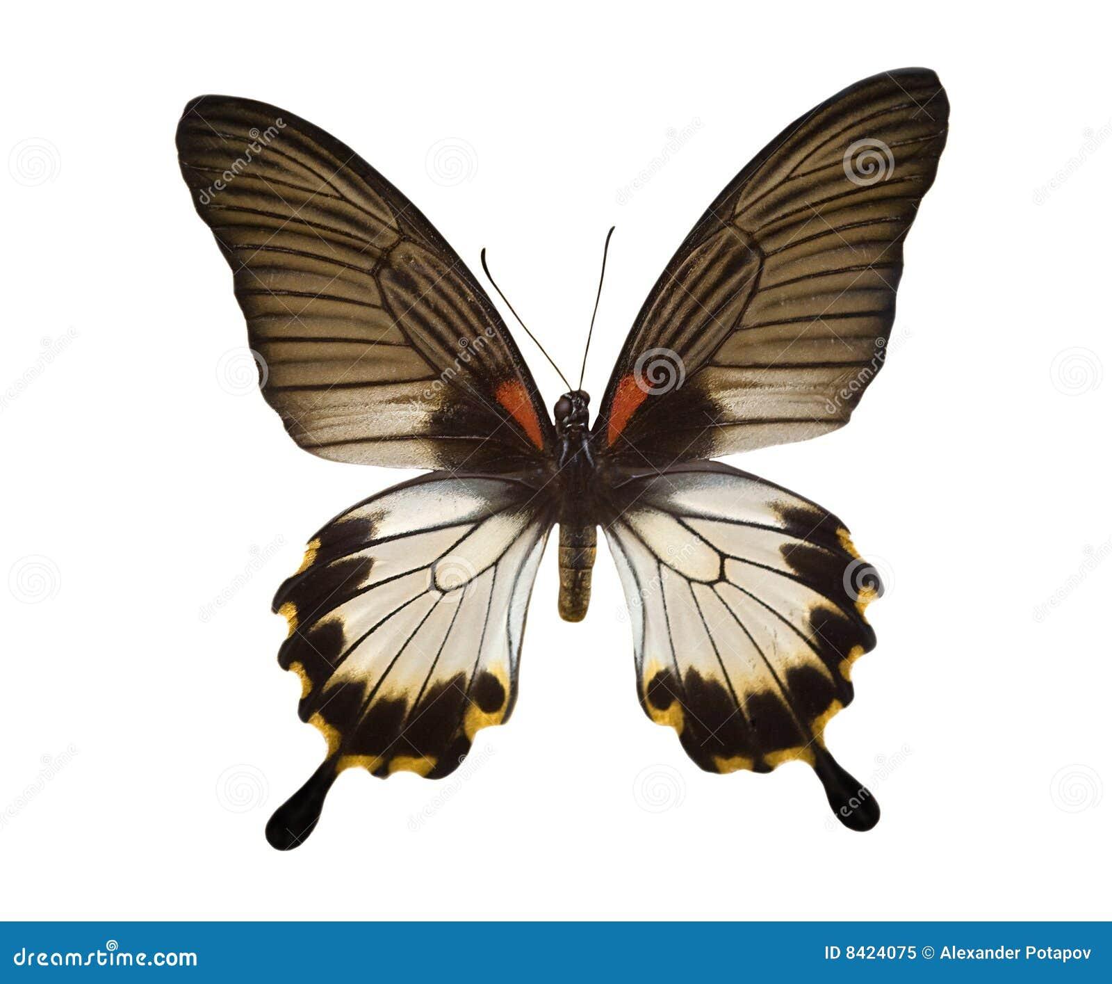 Tropische zwart-witte vlinder