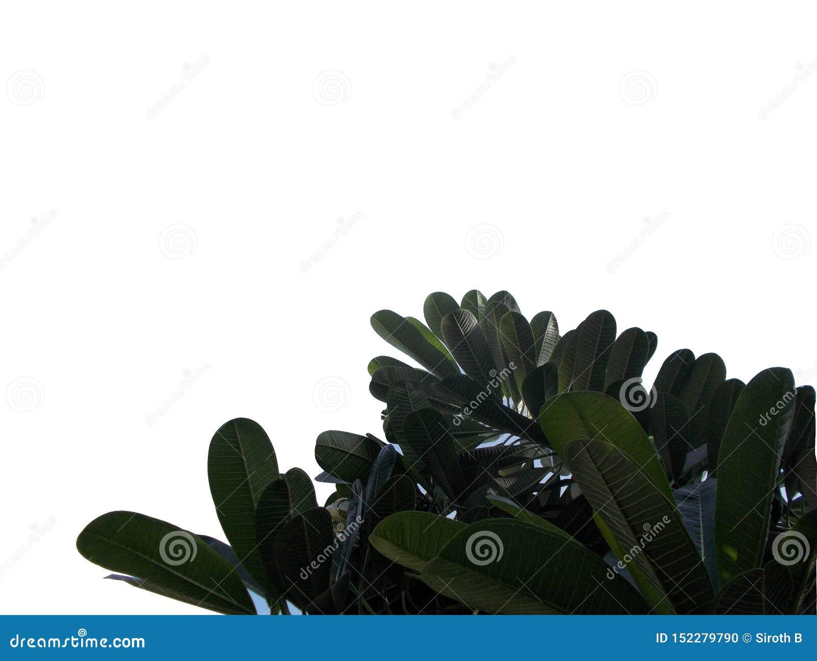 Tropisches Blatt mit den Niederlassungen lokalisiert auf weißen Hintergründen, Draufsichtgrünlaub für Hintergrund