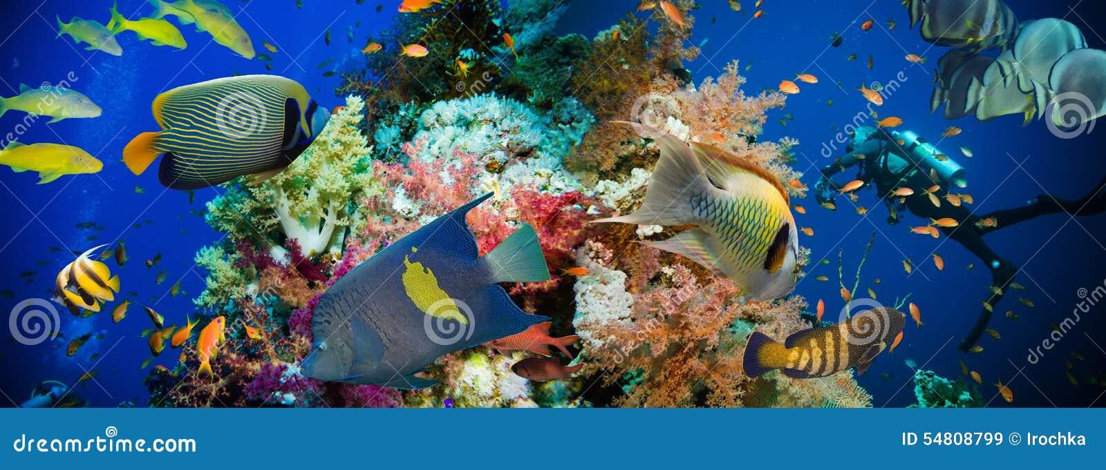Tropisk Anthias fisk med netto brandkoraller