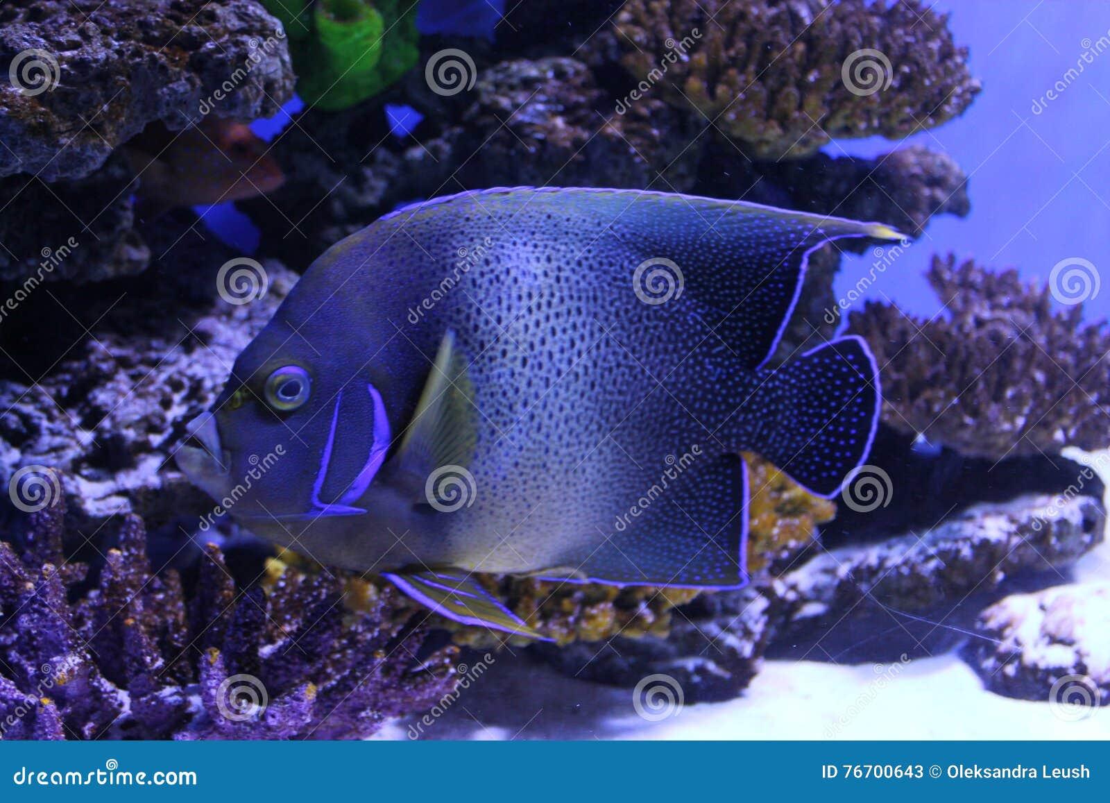 Tropisk blå fisk