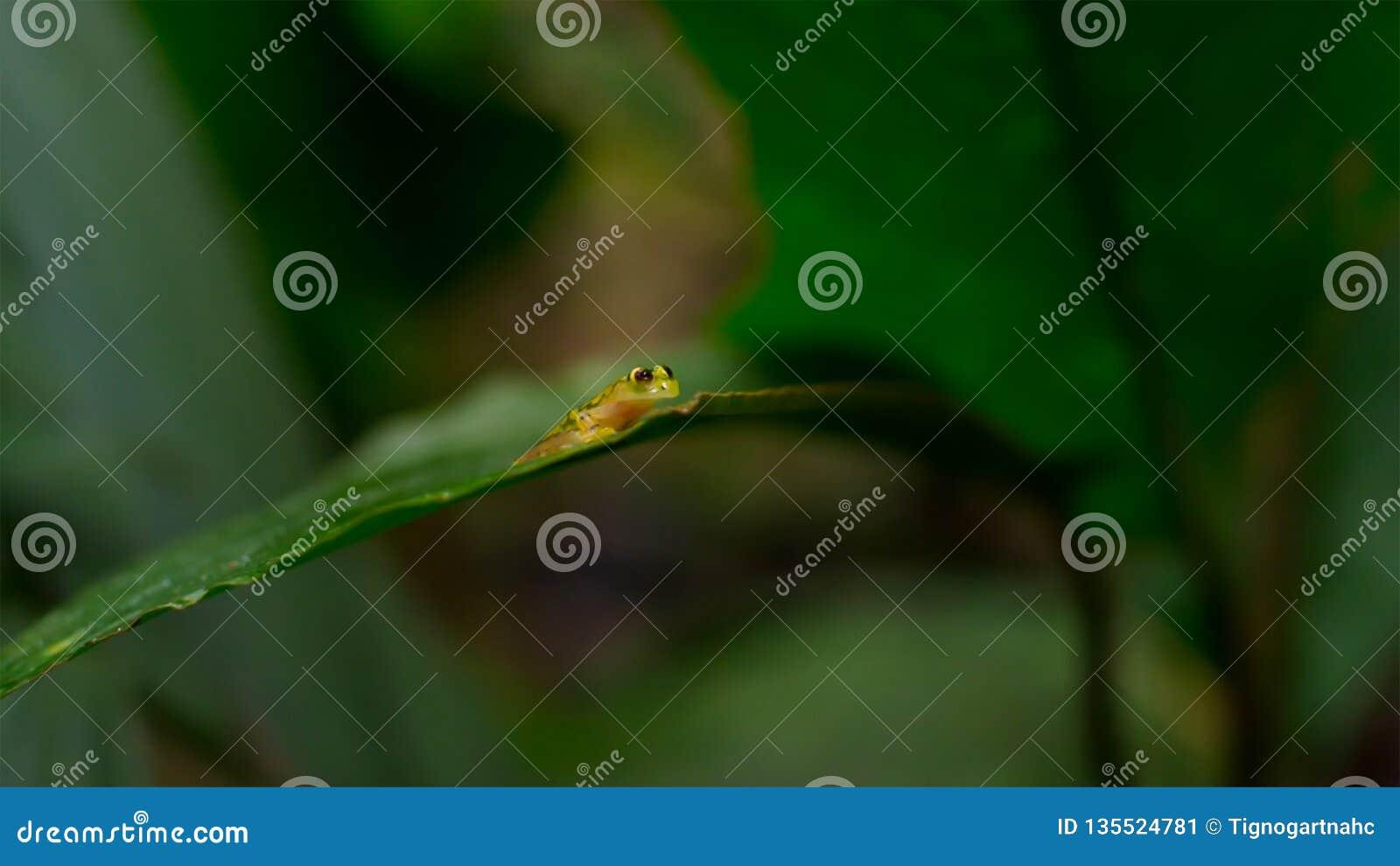 Tropisk exponeringsglasgroda från amasonregnskogen, Hyalinobatrachium Iaspidiense Härligt exotiskt djur med en genomskinlig buk o