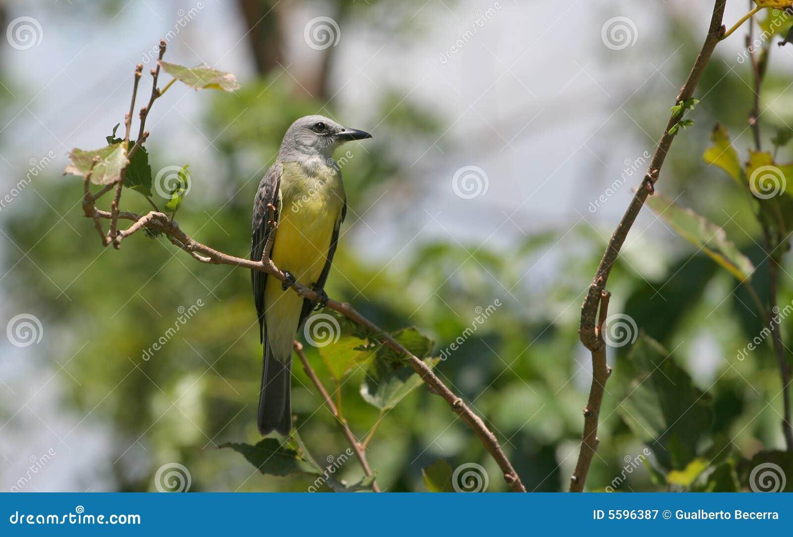 Tropisk fågelkonung