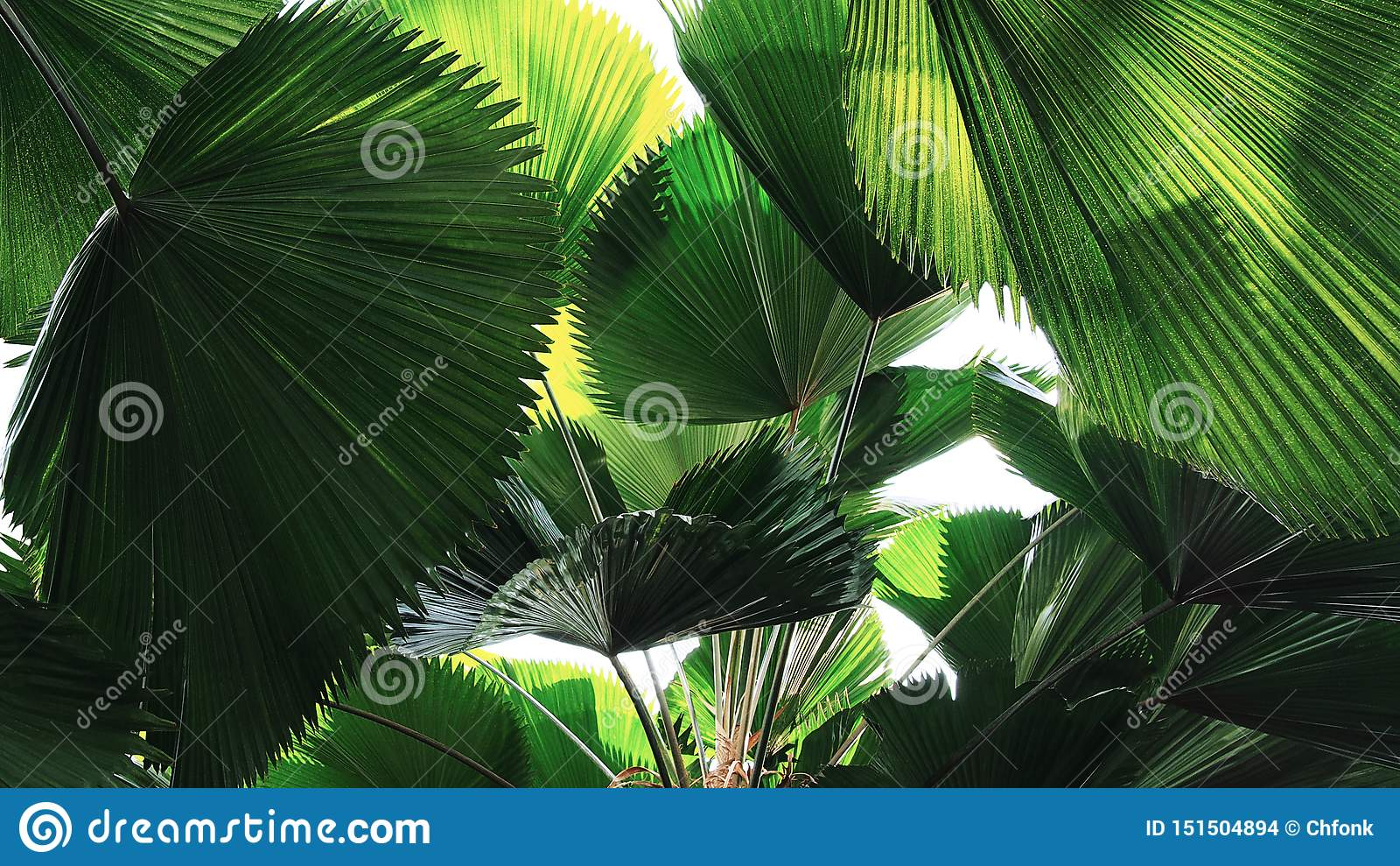 Tropisk modell för palmblad för sidarainforestfan, abstrakt grön naturbakgrund
