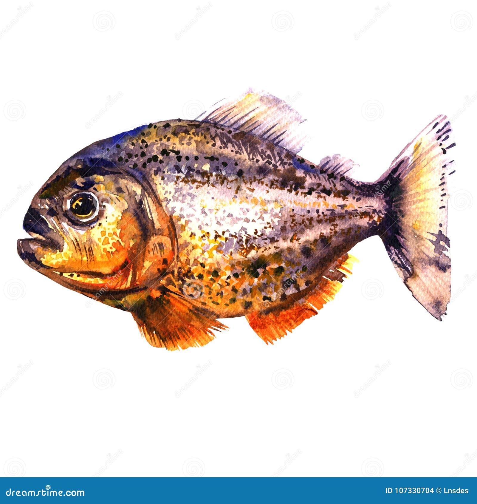 Tropisk röd piranha, rov- fisk, sidosikt, pirahna som isoleras, vattenfärgillustration på vit