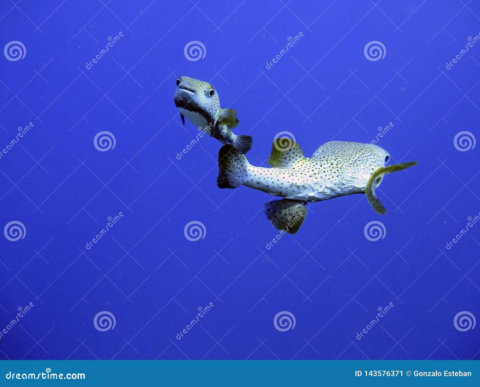 Tropiska fiskar i havet