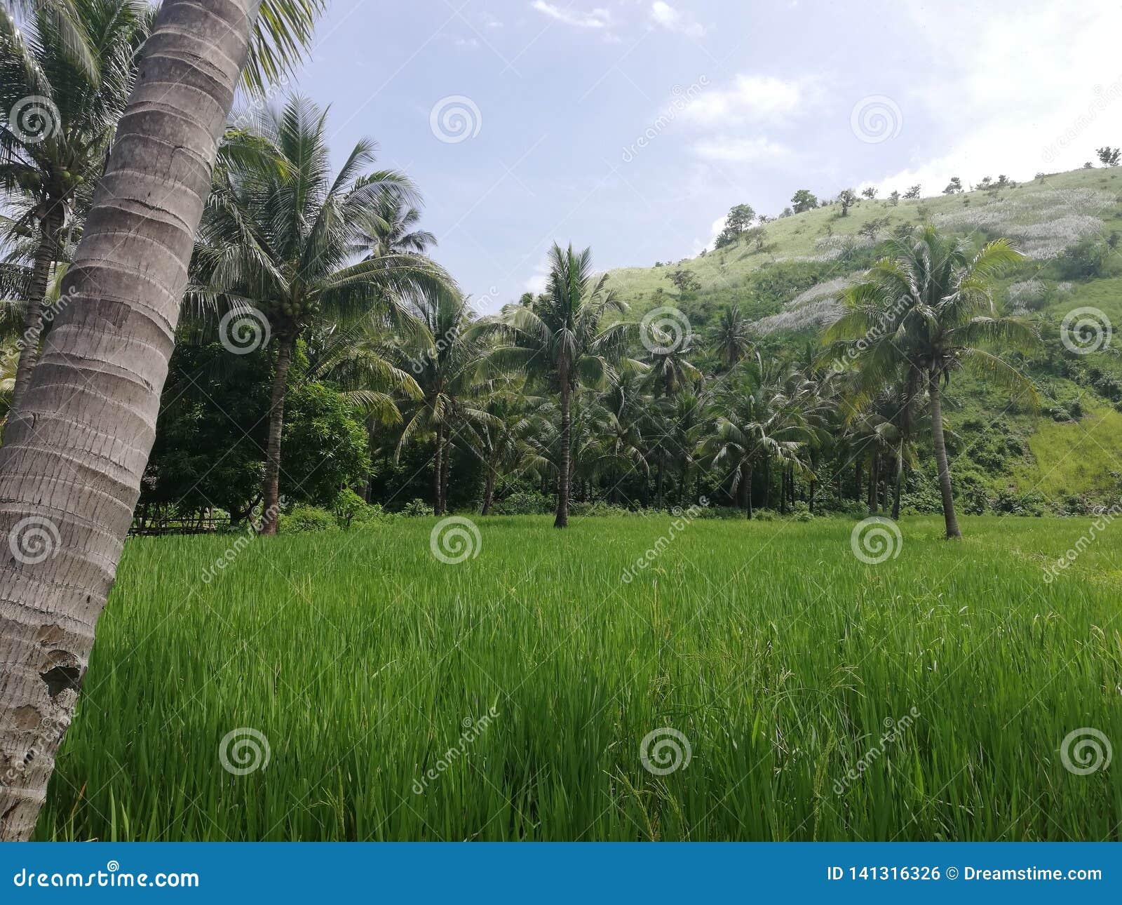 Tropiska gröna kullar, risfält och palmträd