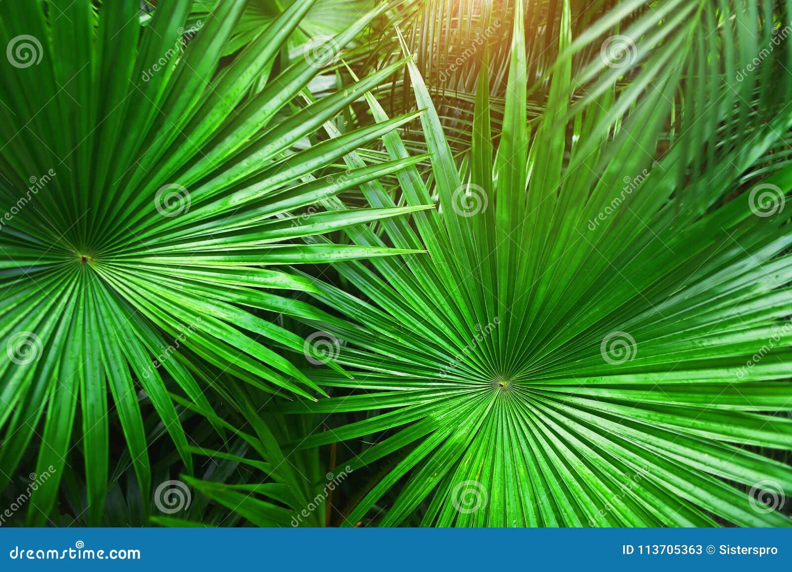 Tropiska gröna palmblad i exotiskt ändlöst sommarland med solljus