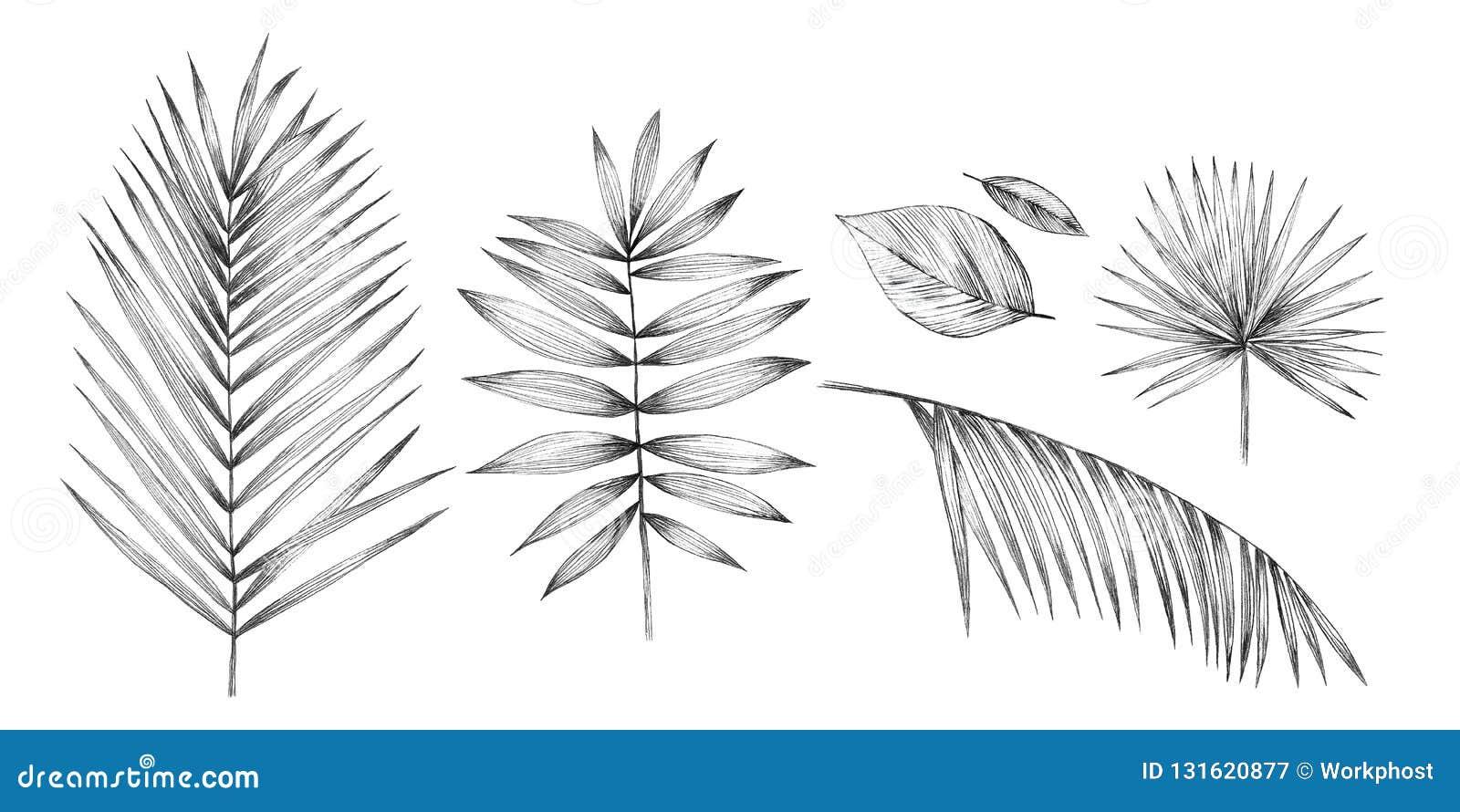 Tropiska palmblad på vit bakgrund Handblyertspennateckning