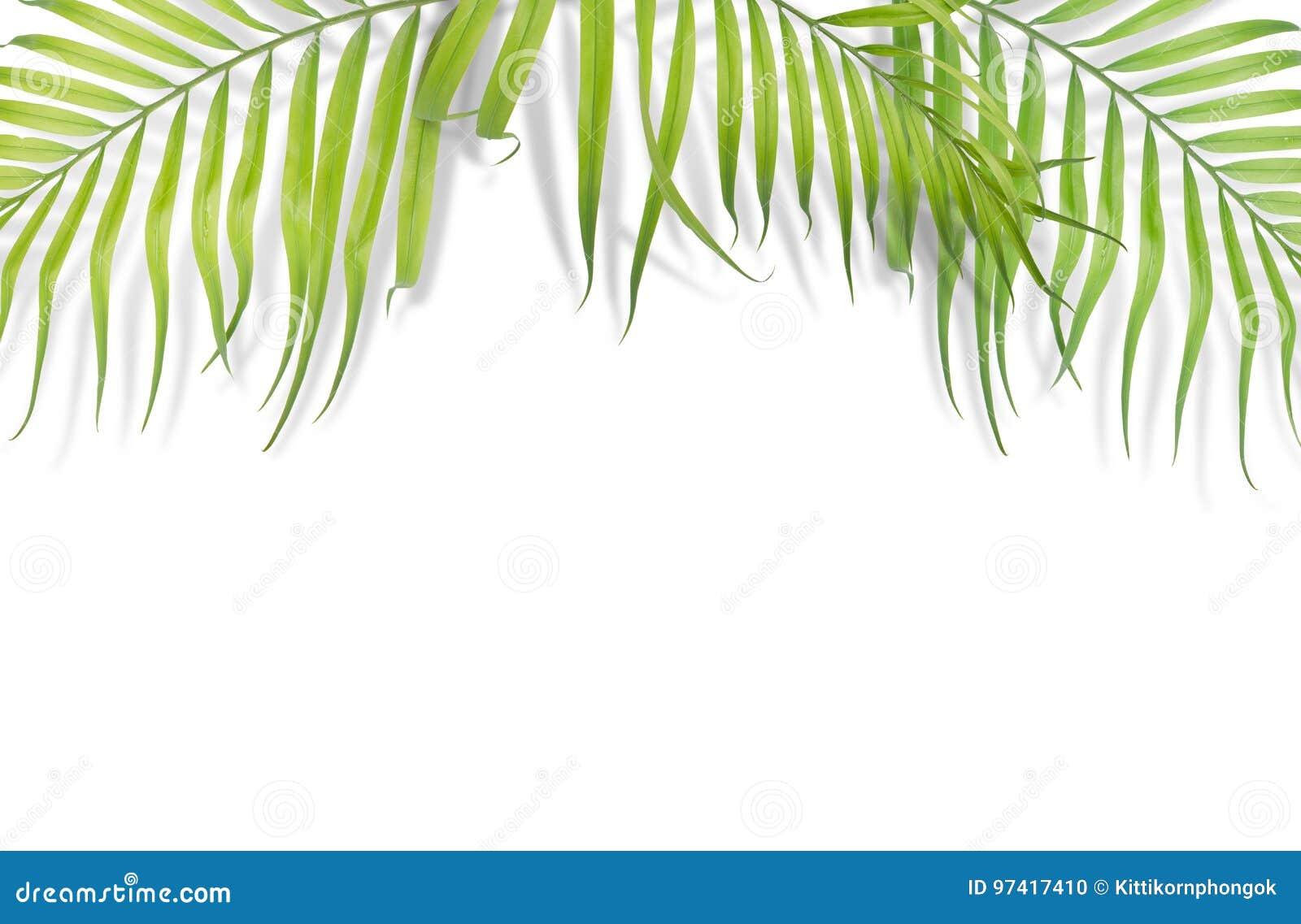 Tropiska palmblad på vit bakgrund Minsta natur Sommar