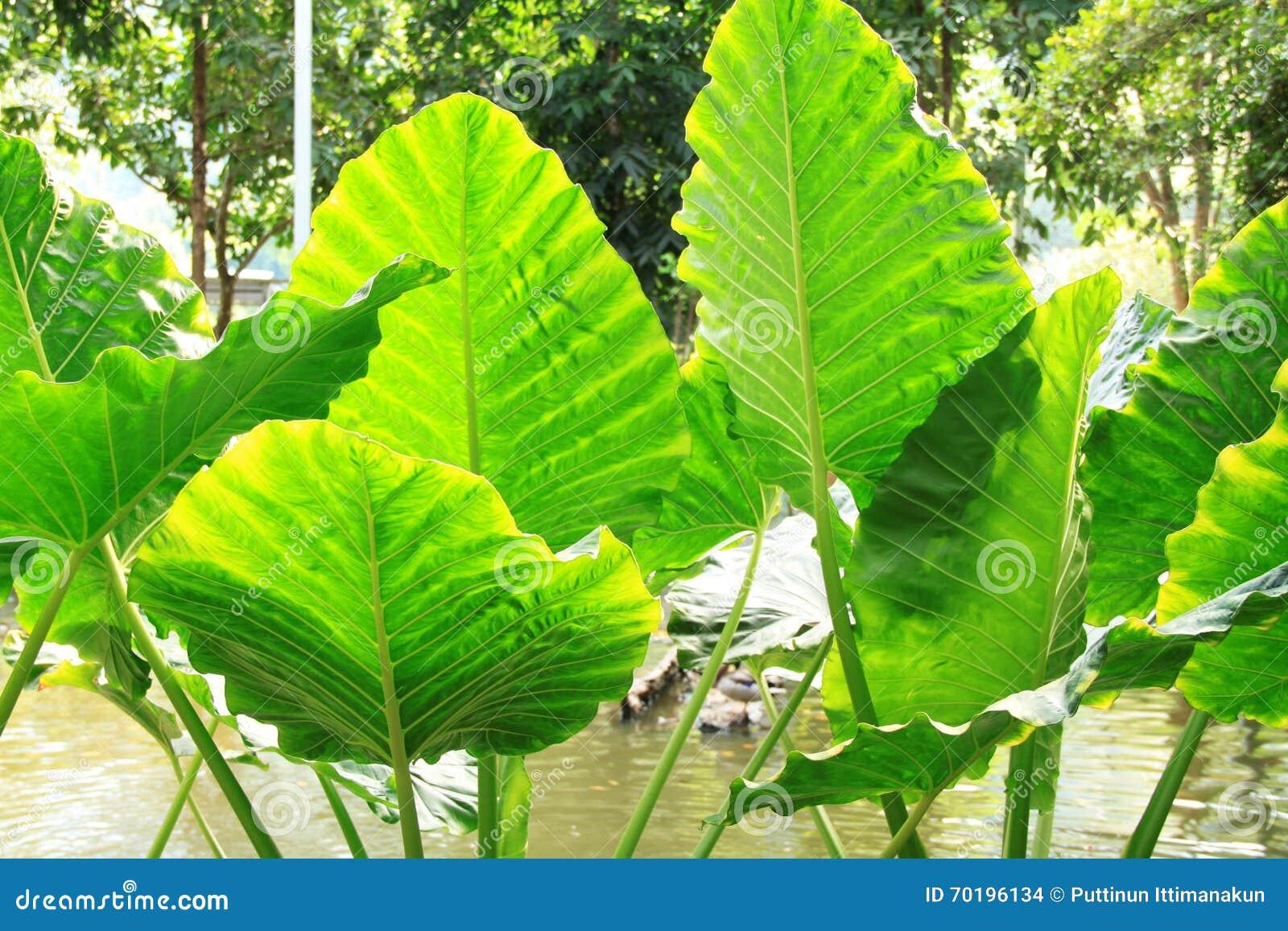 Tropiskt blad för stor buskegräsplan - jätte- upprätt elefantöra, Natt-vädrade Lily Alocasia Odora