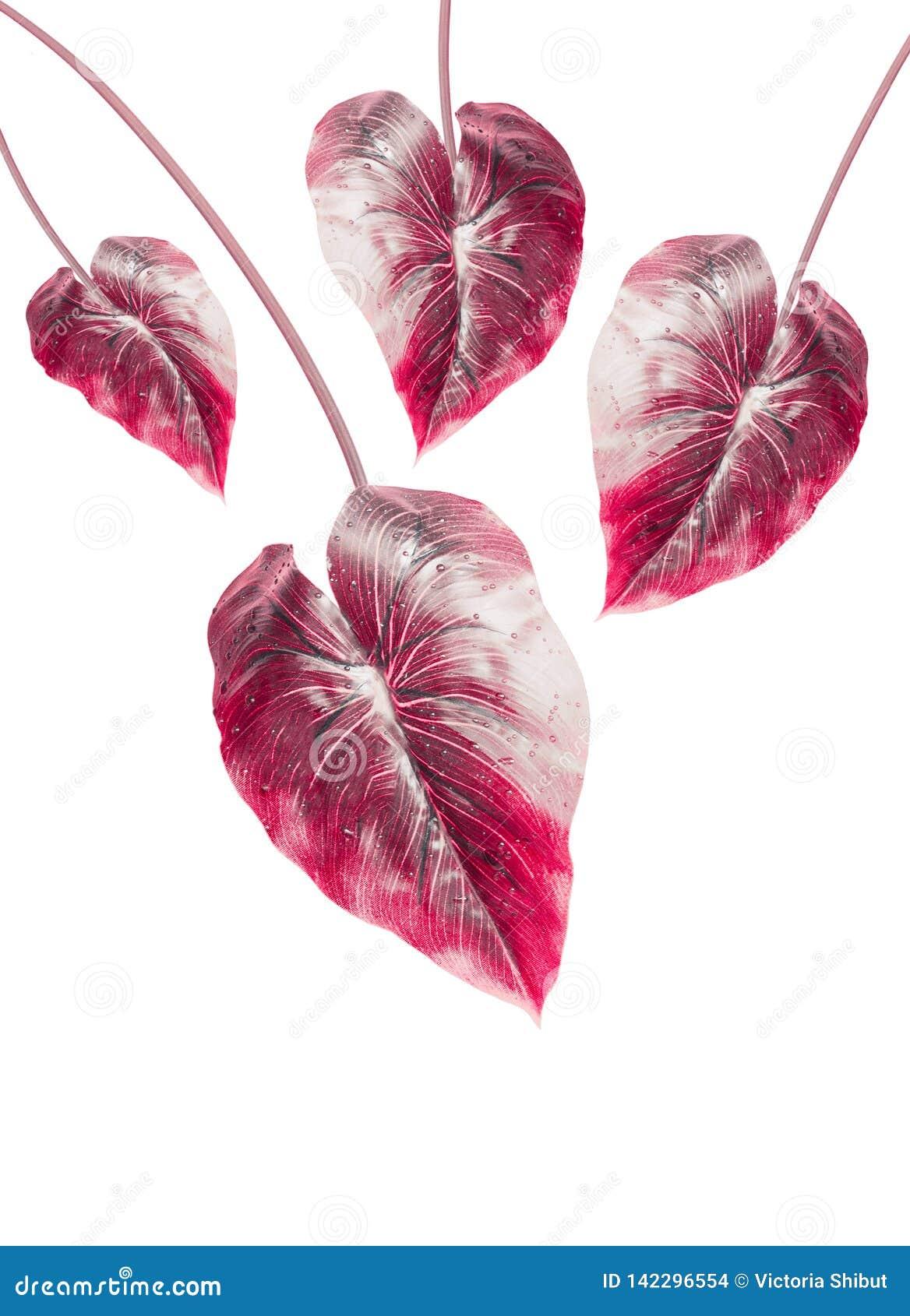Tropiskt rött blad som isoleras på vit bakgrund Hängande exotiskt blad