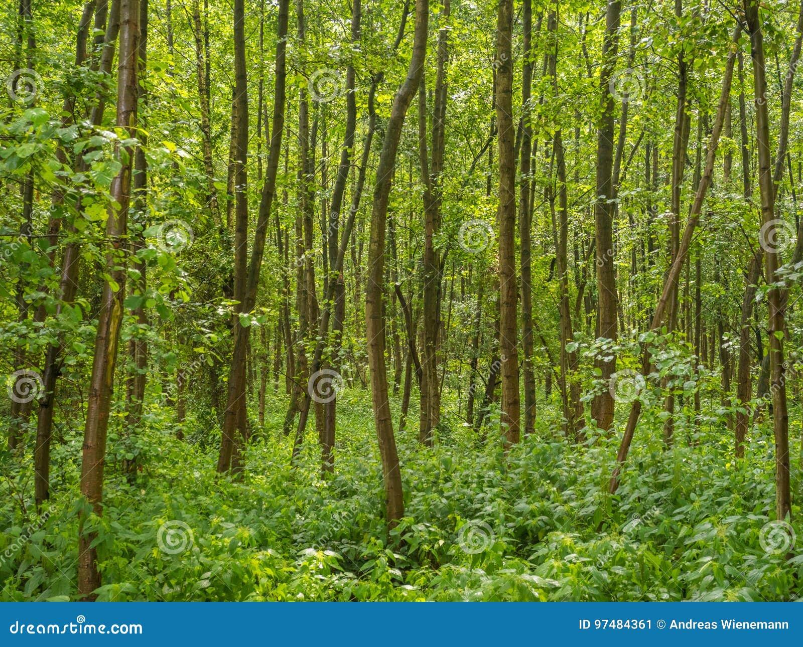 Troppi giovani alberi su una piccola zona