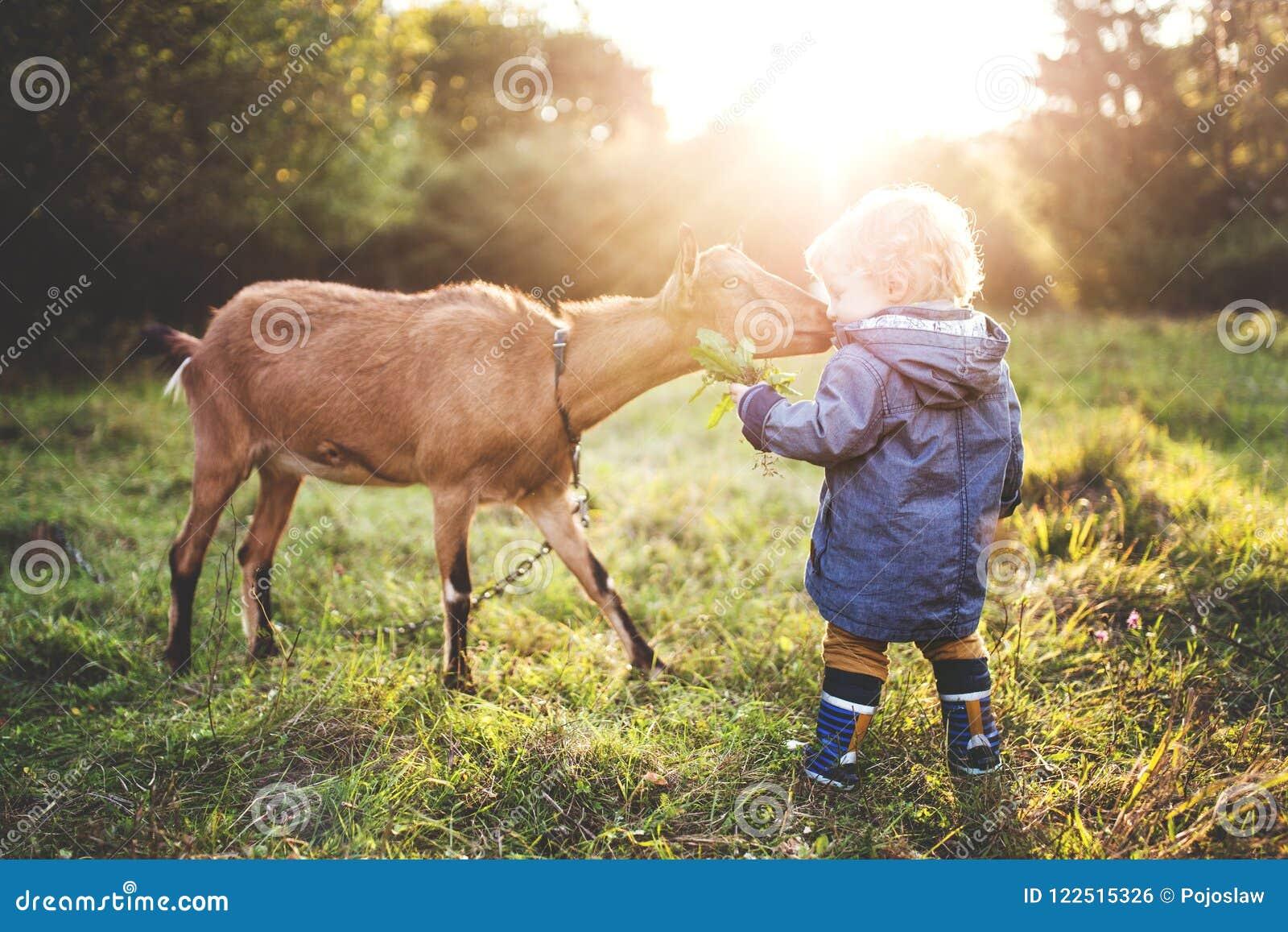 Troszkę berbeć chłopiec karmi kózki outdoors na łące przy zmierzchem