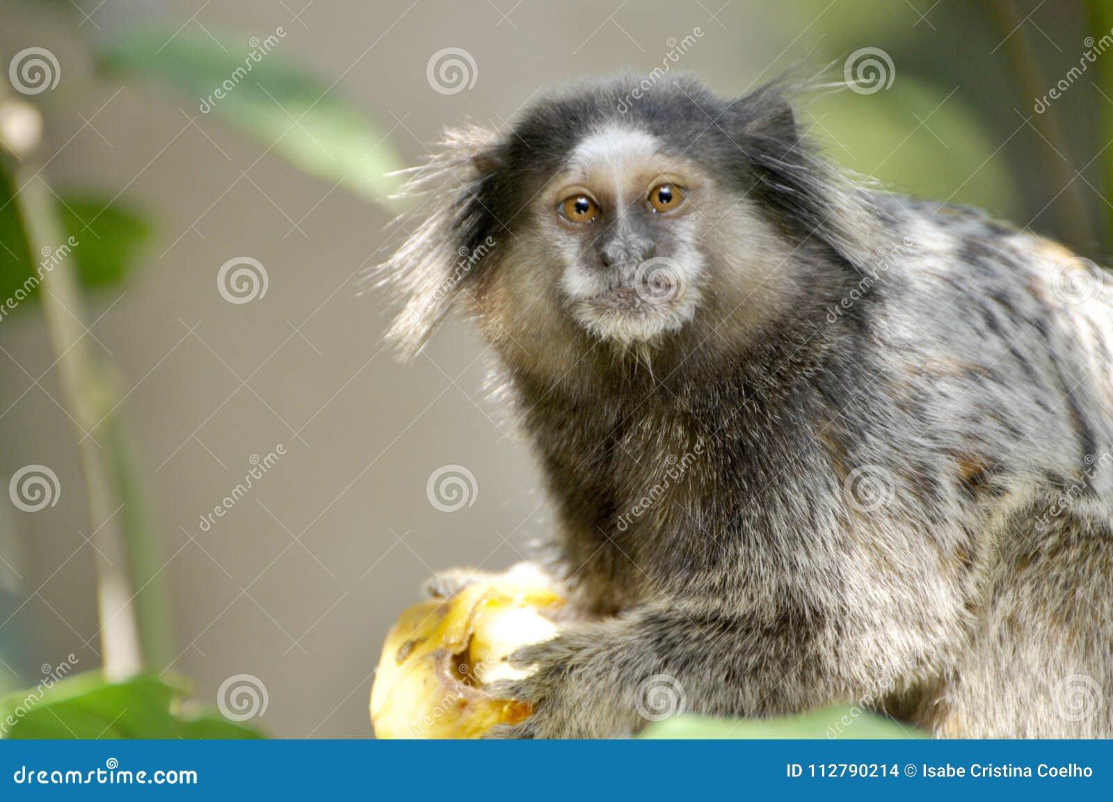Troszkę małpa z smutnym spojrzeniem