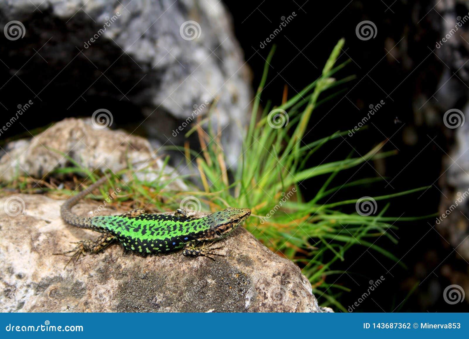 Troszkę zielona jaszczurka na kamieniu z trawą na krawędzi falezy