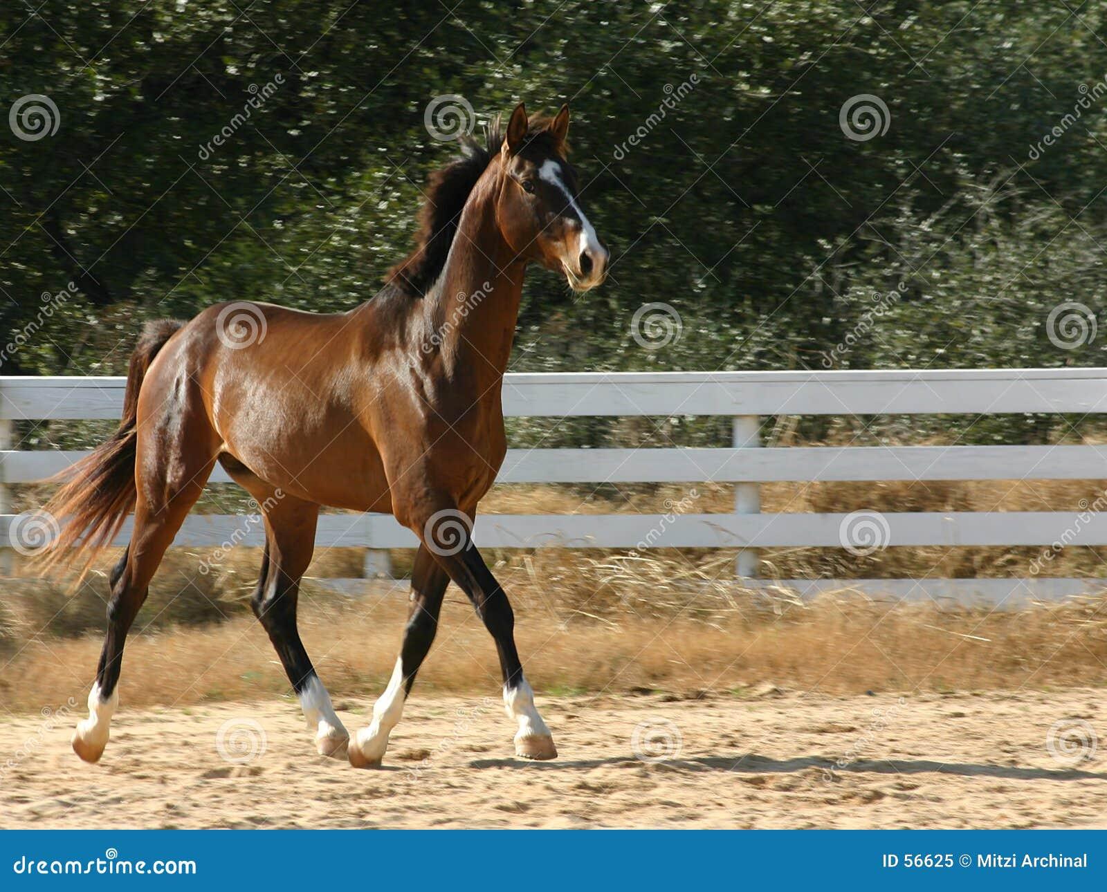 Download Trot de fantaisie image stock. Image du chevaux, équestre - 56625