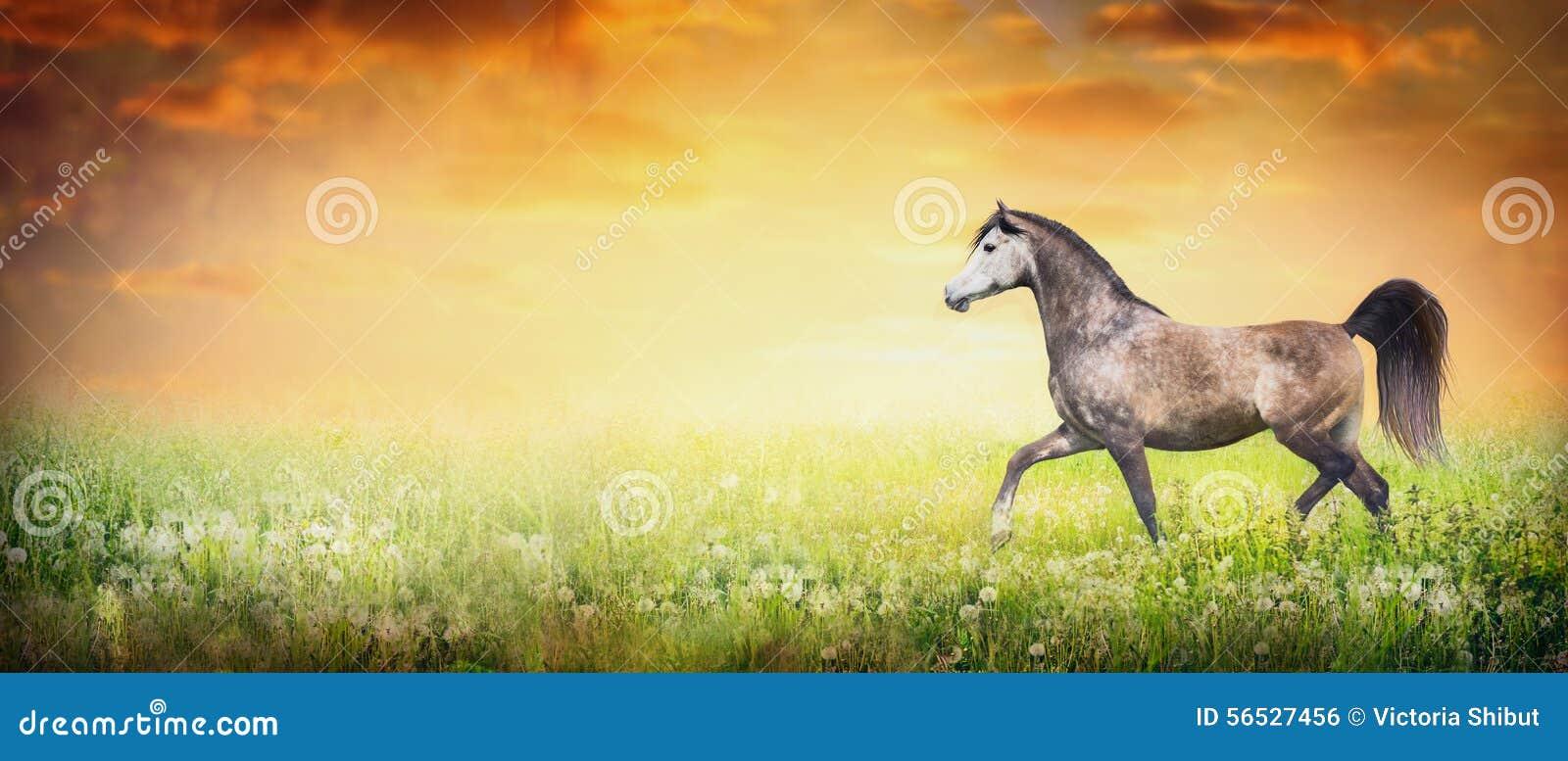 Trote árabe bonito do corredor do cavalo no fundo da natureza do verão ou do outono com céu do por do sol, bandeira