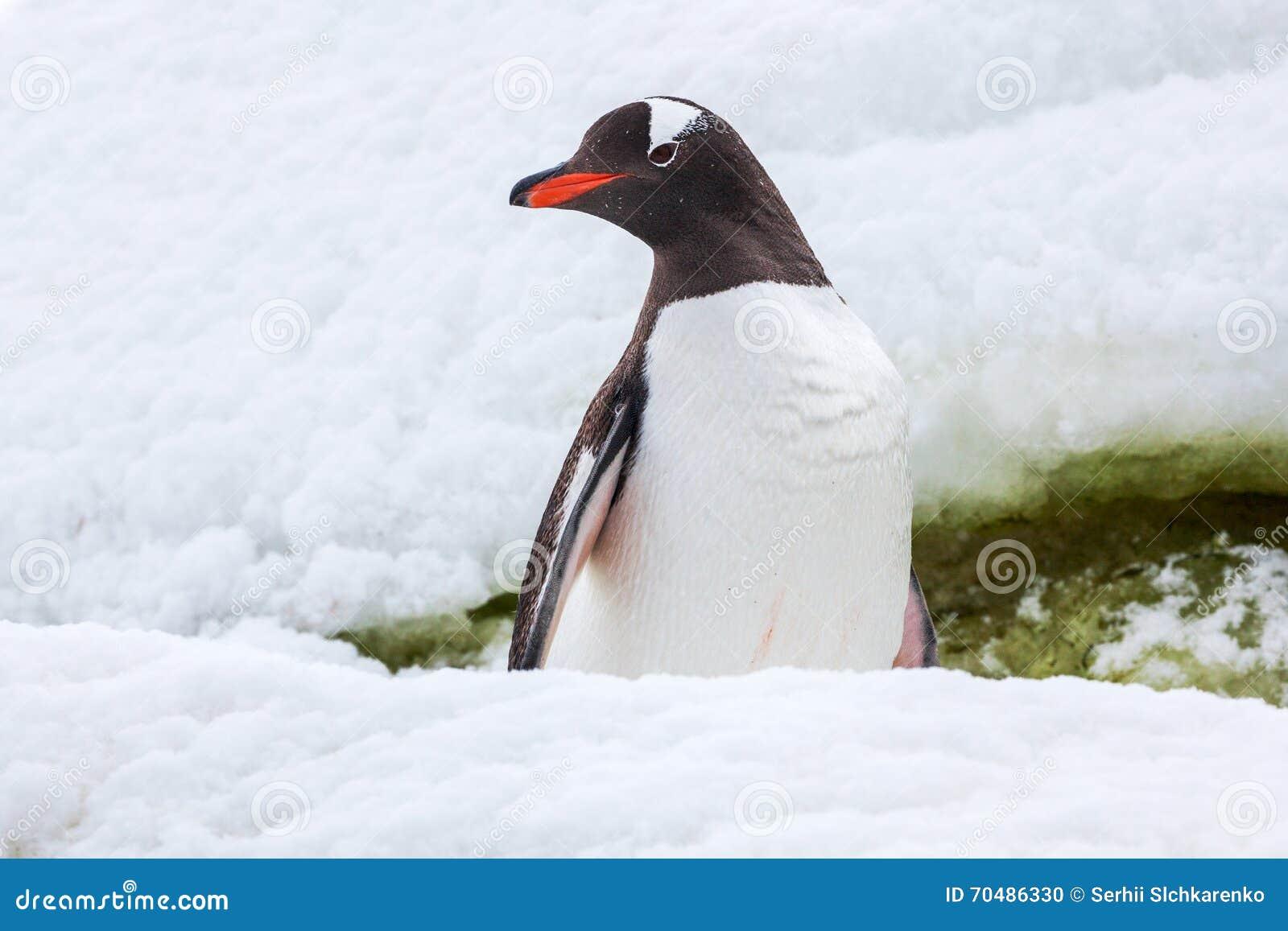 Trotse gentoopinguïn op de sneeuw in Antarctica