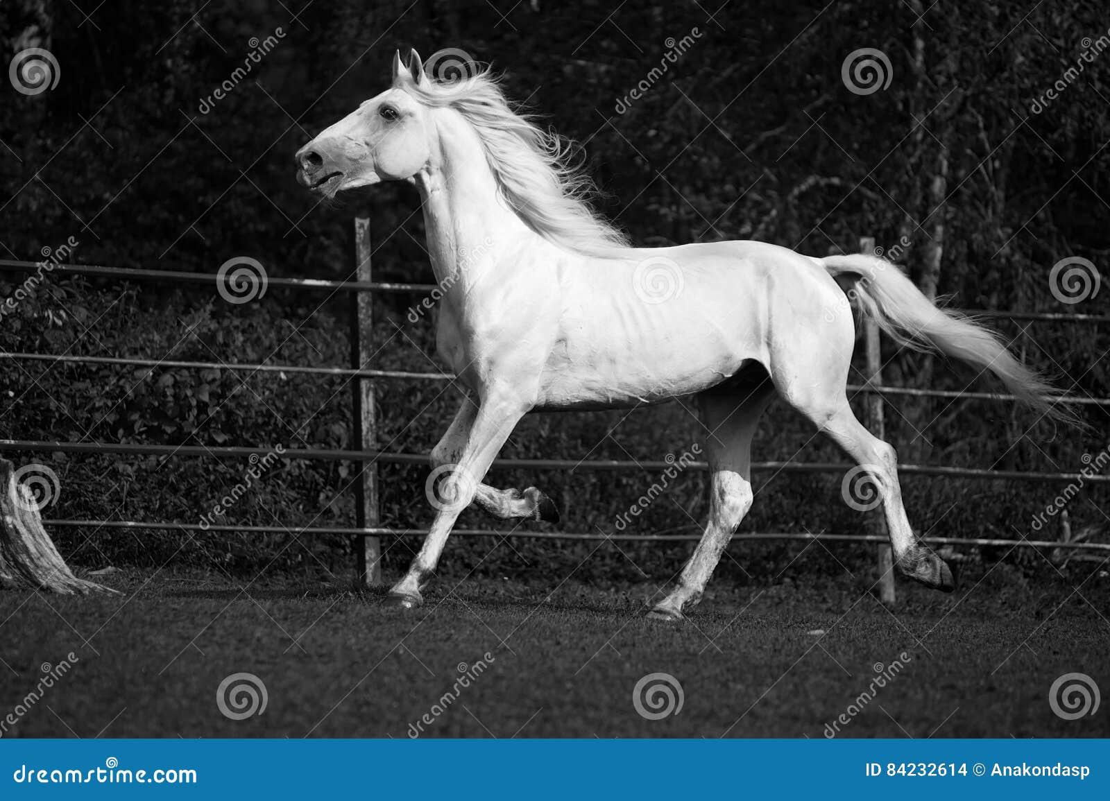 Trotteur Blanc Courant D'Orlov Photo stock
