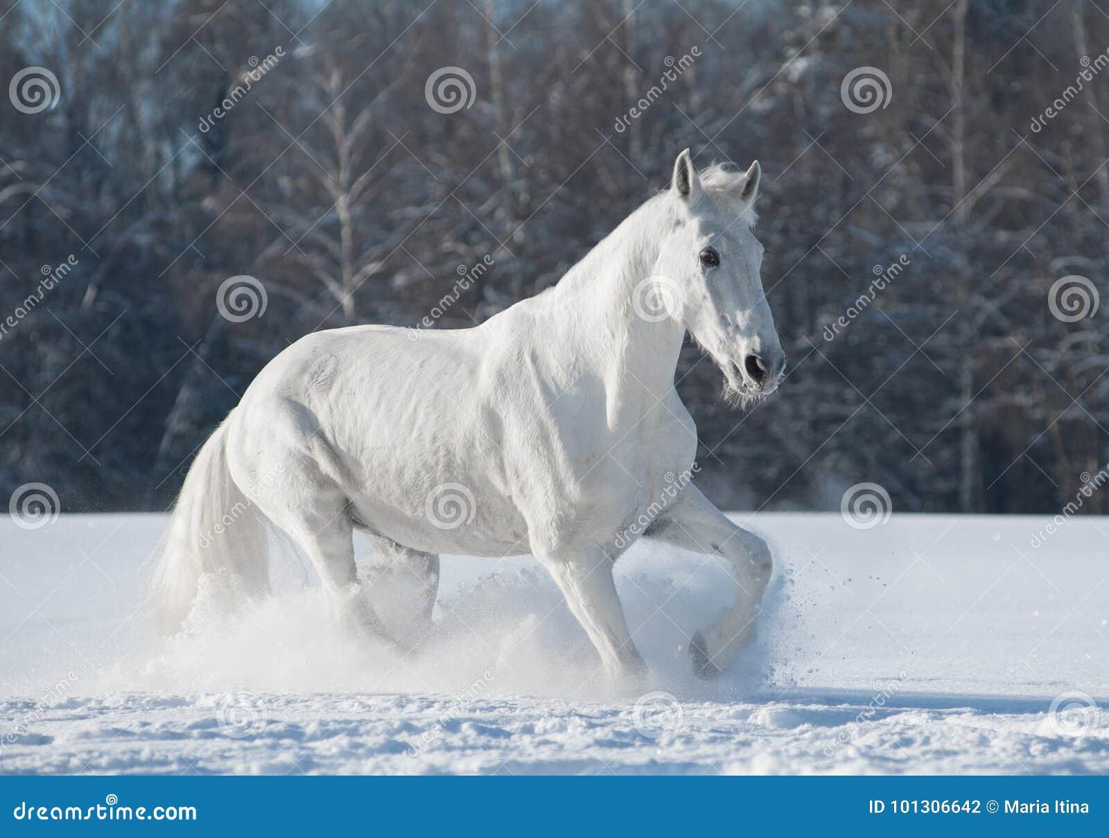 Trotteur blanc d'Orlov photo stock. Image