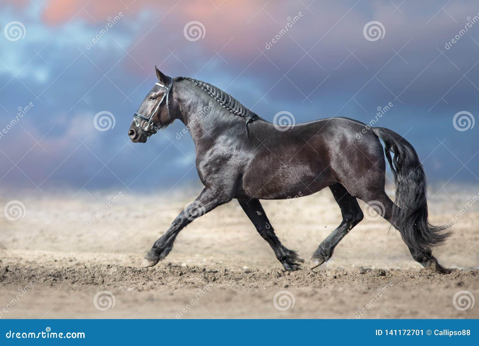 Trotto frisone del cavallo