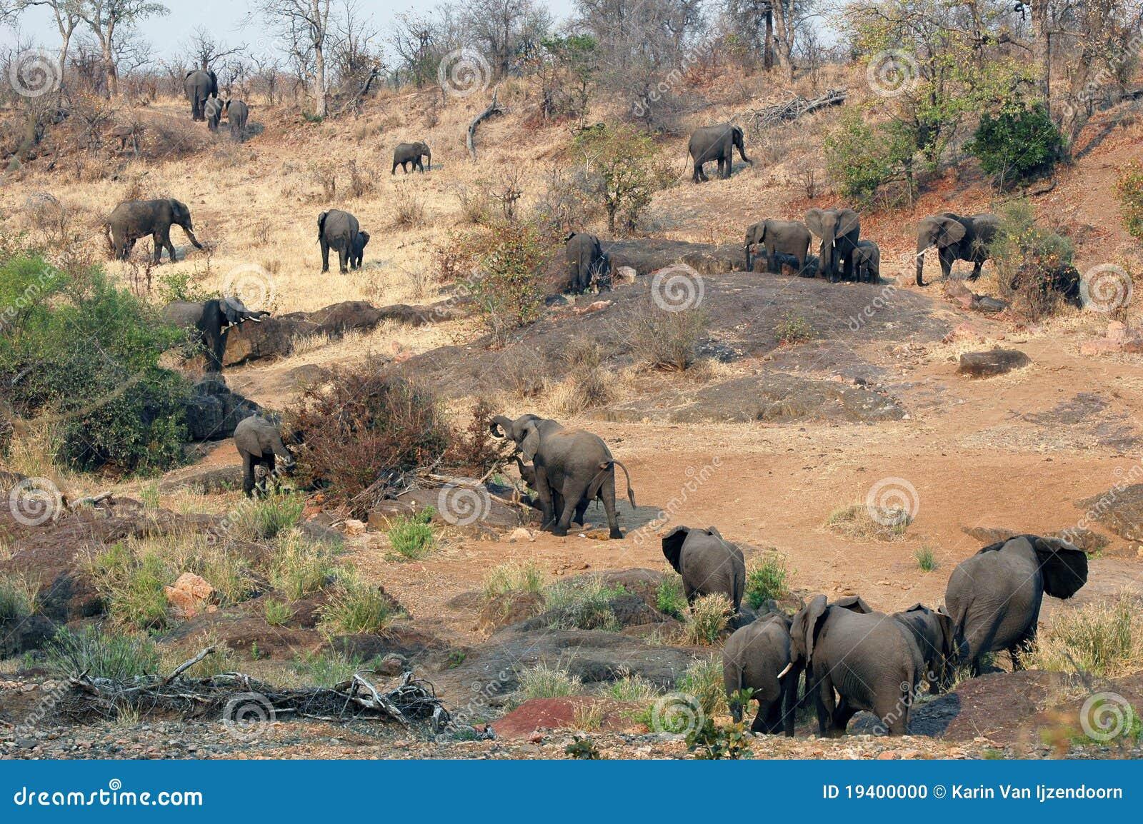 Troupeau d éléphant africain