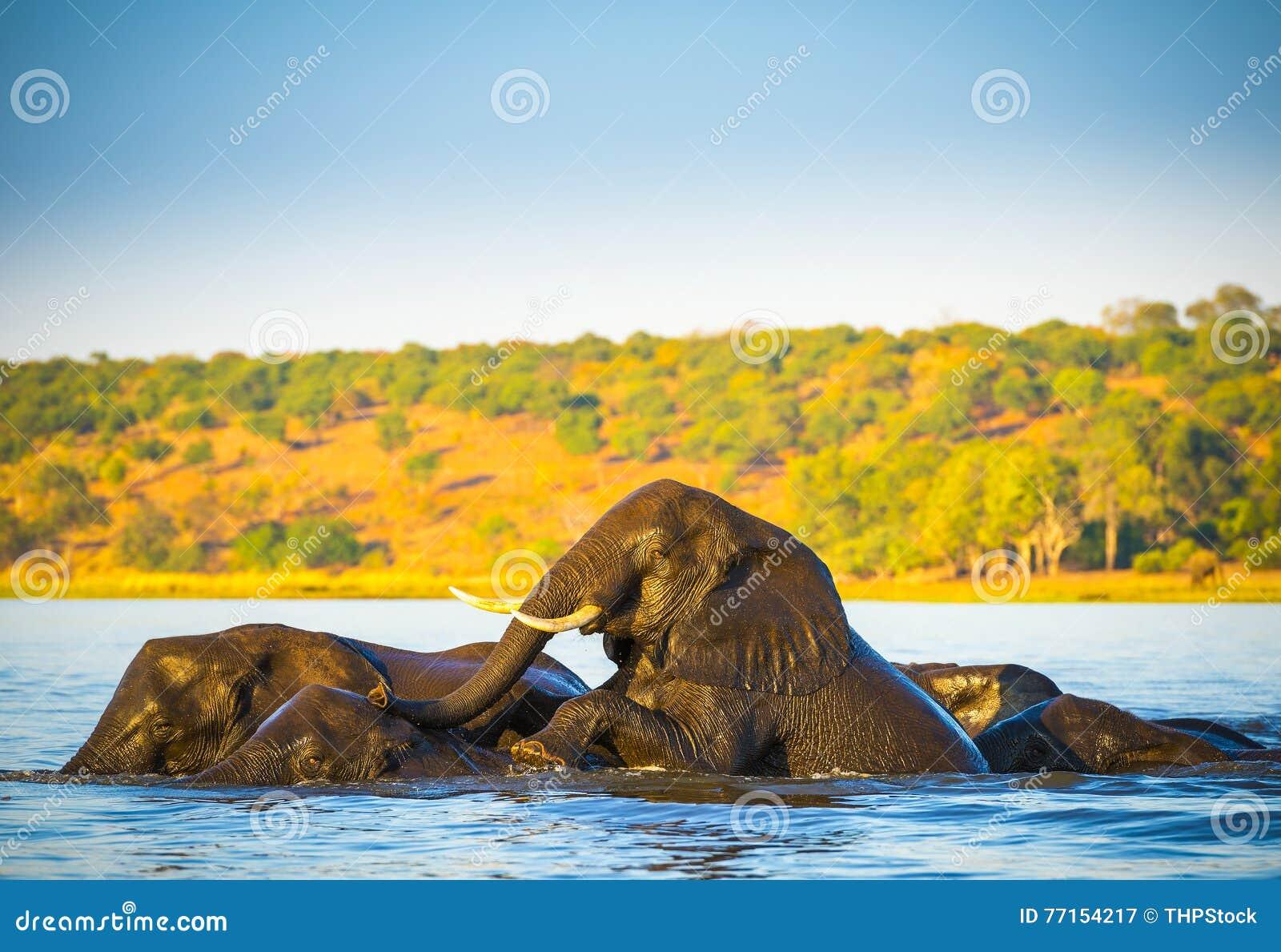Troupeau d éléphant traversant la rivière de Chobe