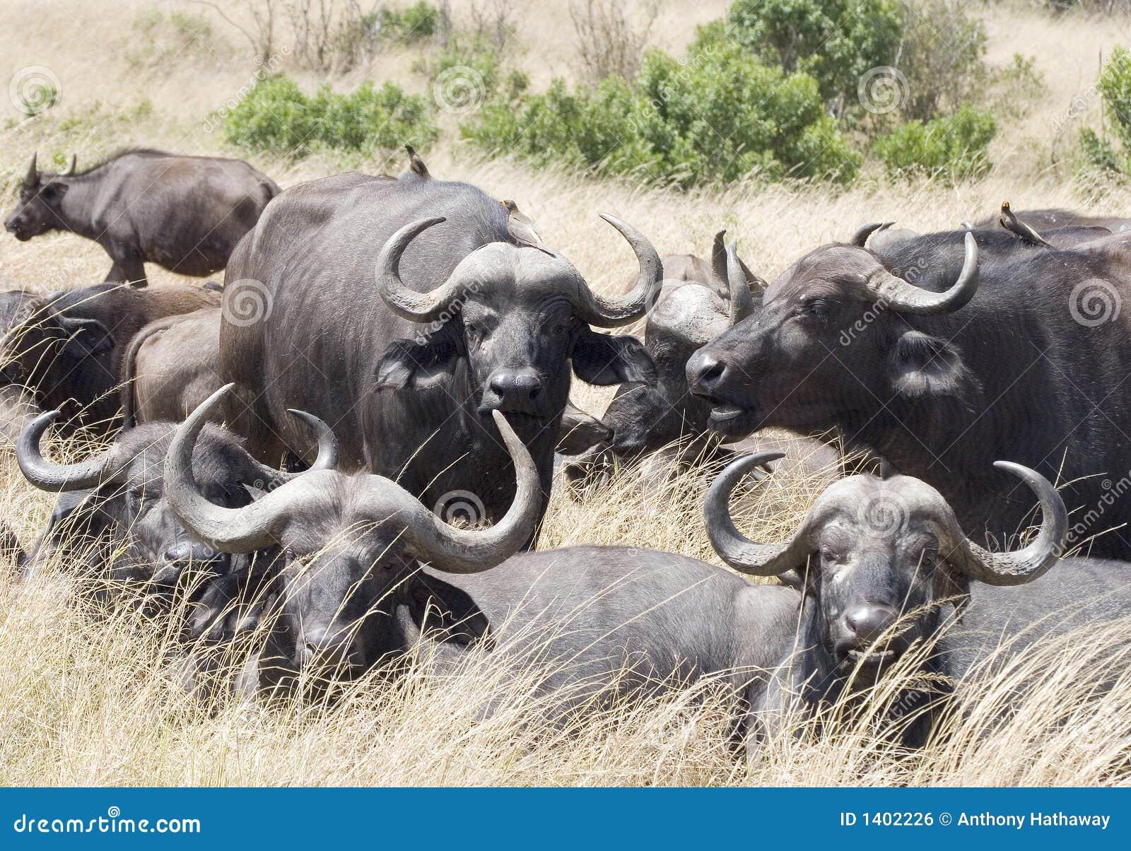 Troupeau de Buffalo de cap