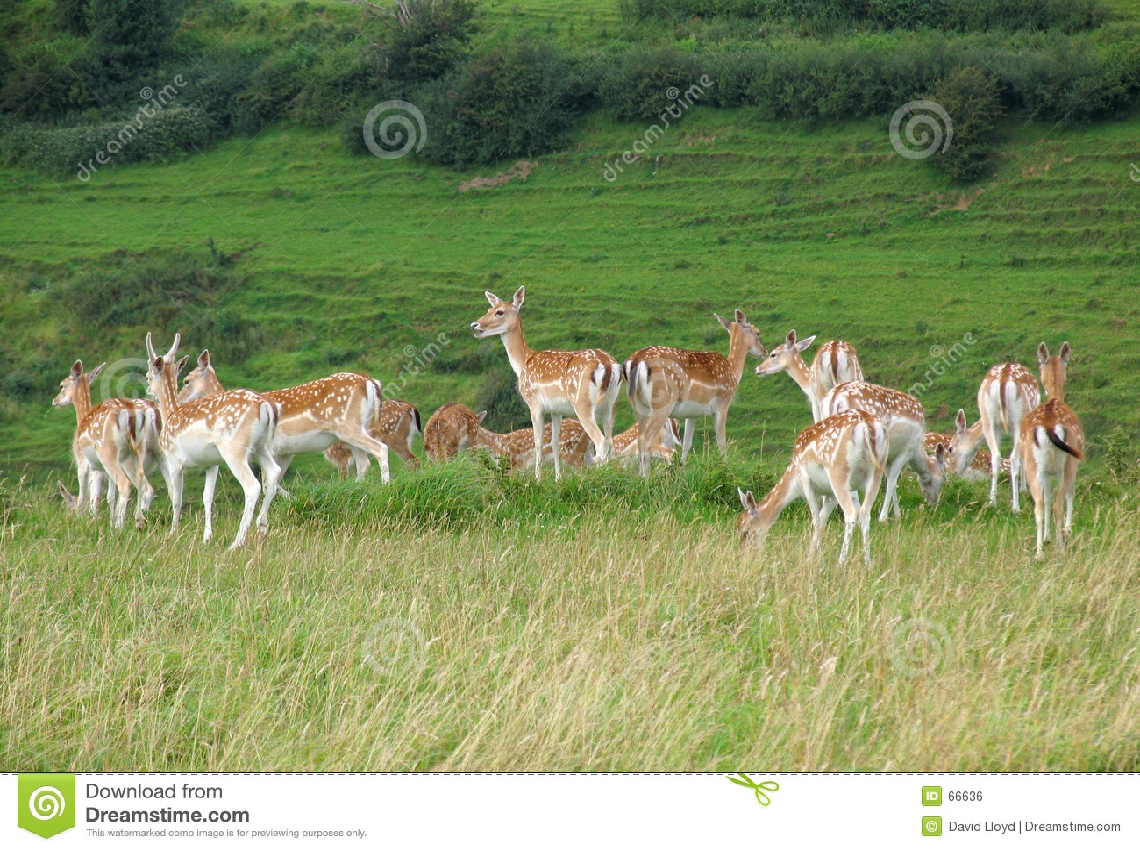 Troupeau de cerfs communs