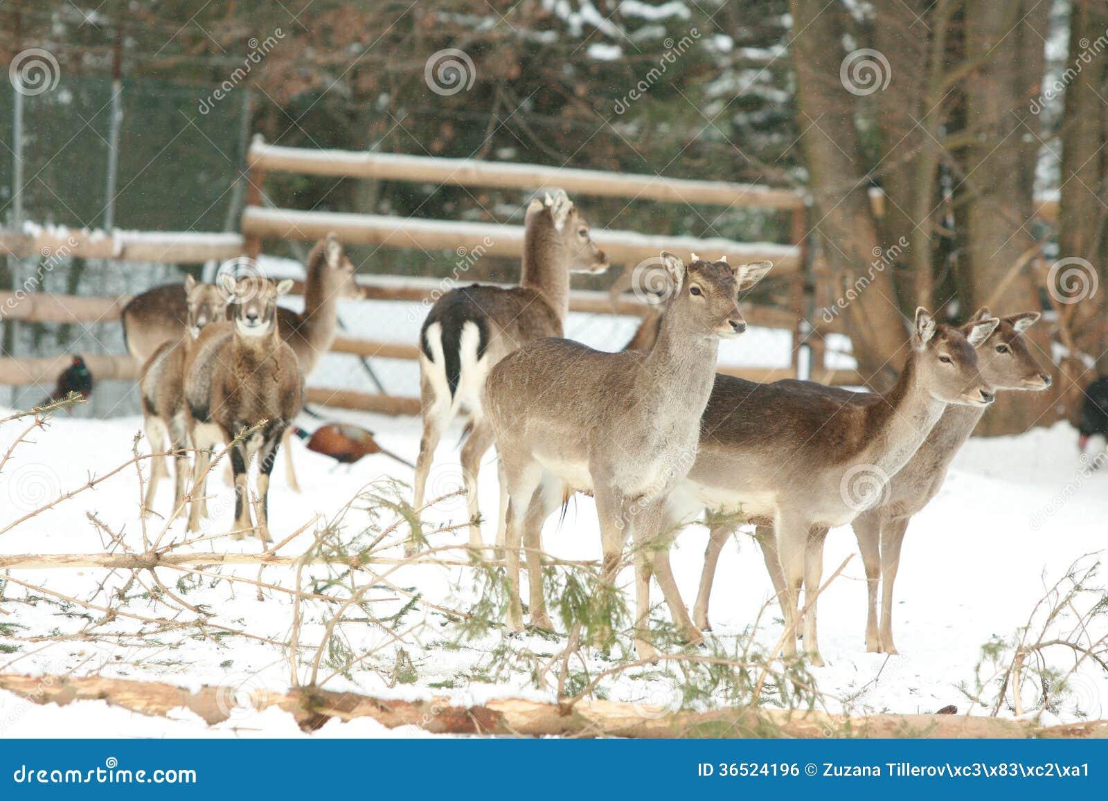 Troupeau de cerfs communs ensemble en hiver