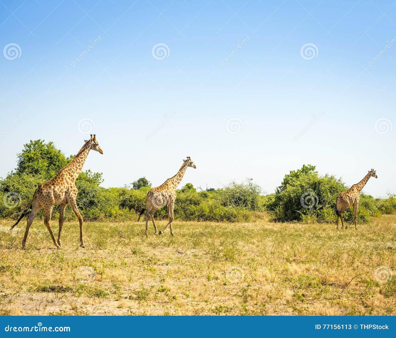 Troupeau de girafes en Afrique