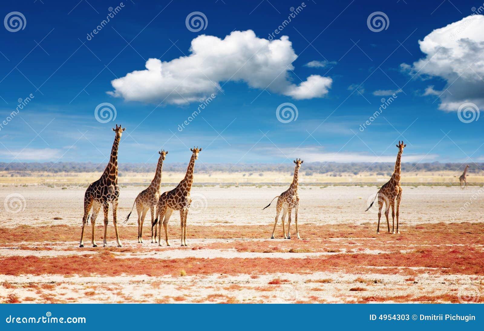 Troupeau de giraffes