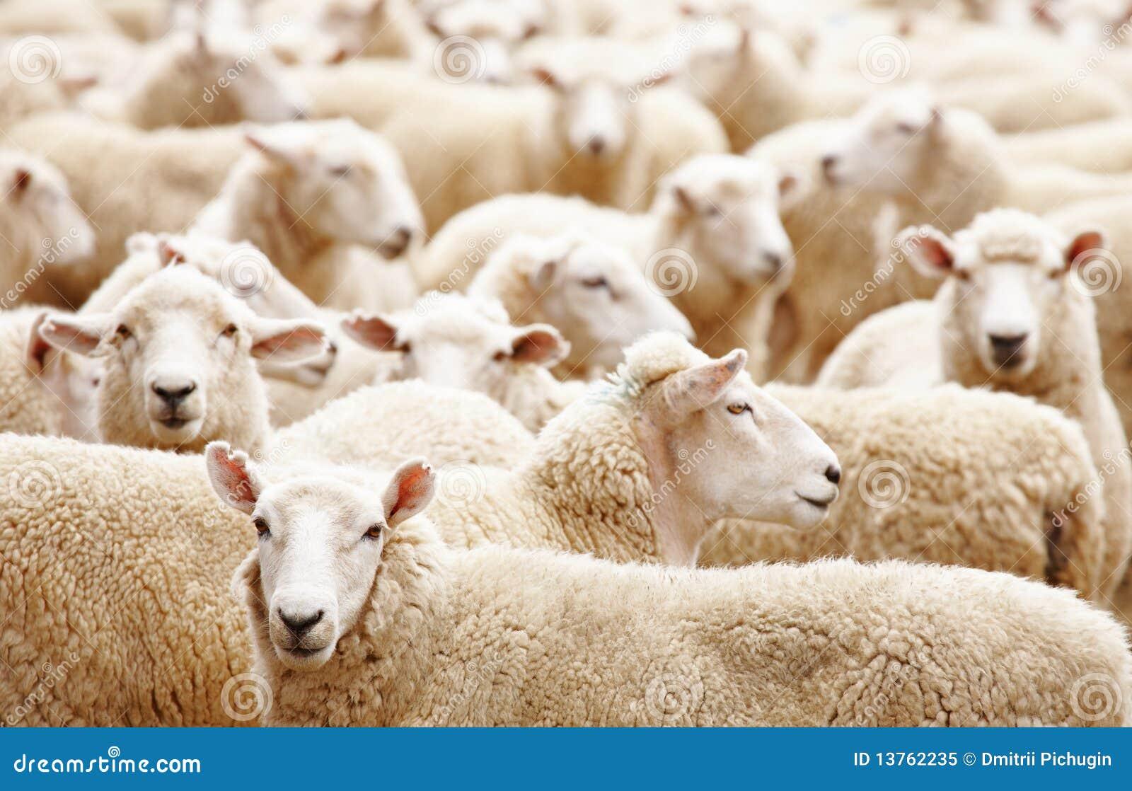 Troupeau de moutons image stock image du agneau p turage - Photos de moutons gratuites ...
