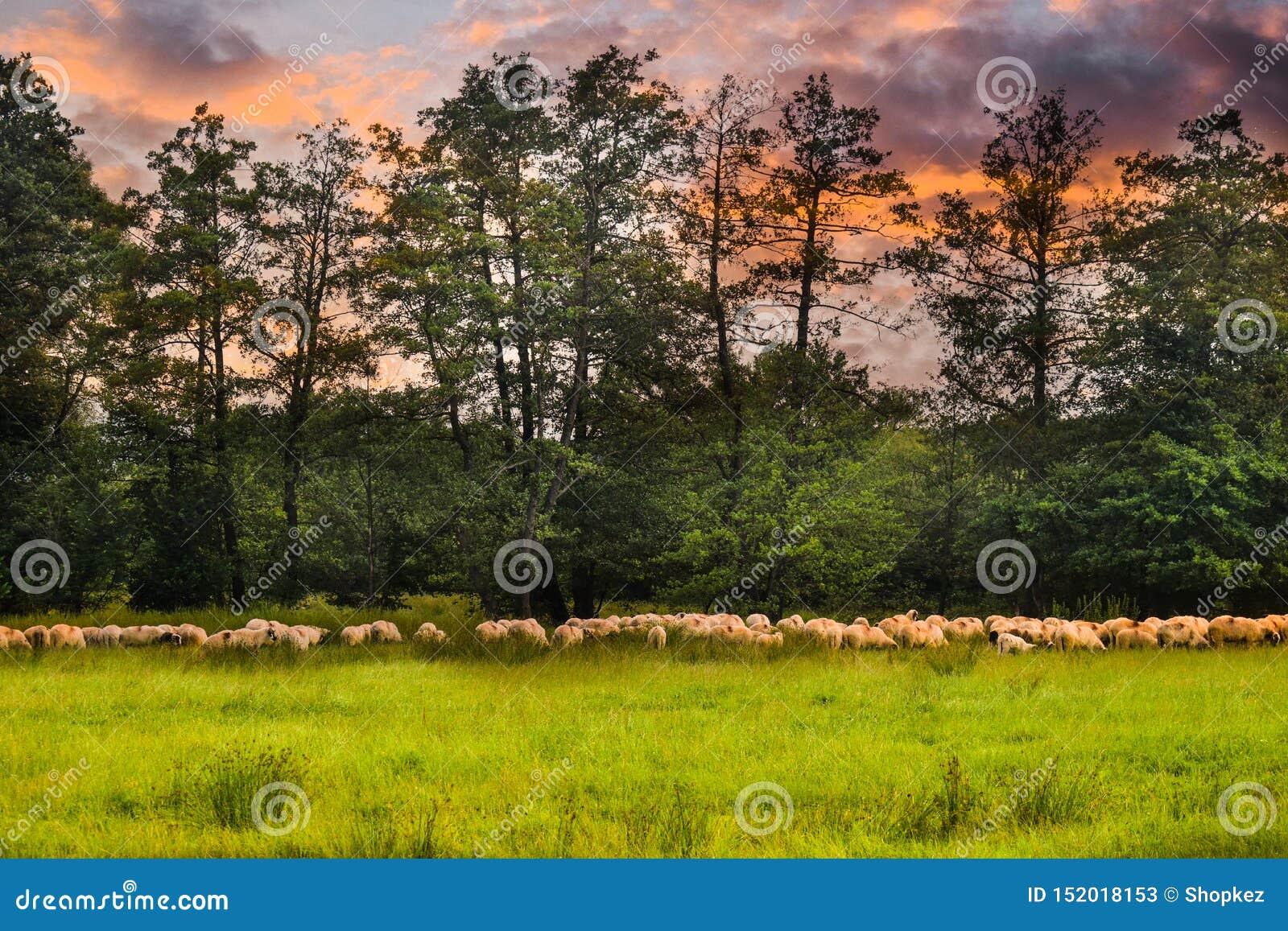 Troupeau de moutons frôlant sur le champ vert Photo courante dénommée avec le beau pâturage et les moutons en Roumanie