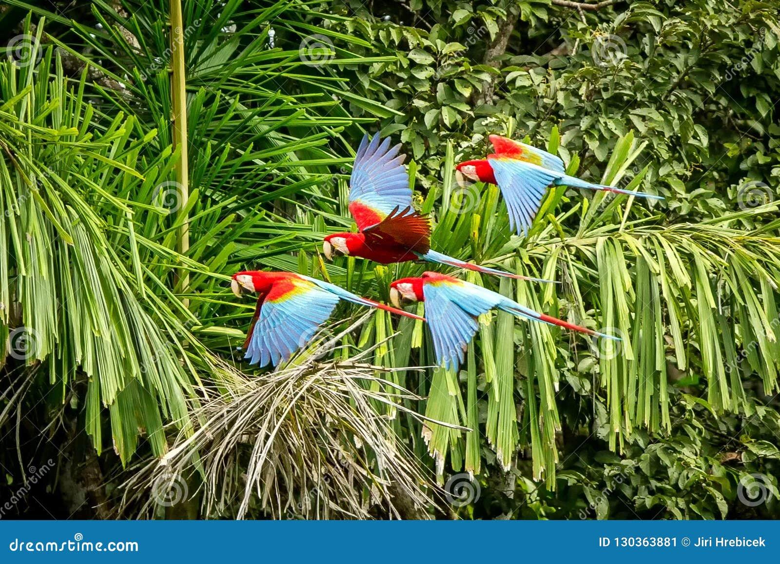 Troupeau de perroquet rouge en vol Vol d ara, végétation verte à l arrière-plan Ara rouge et vert dans la forêt tropicale, Pérou,