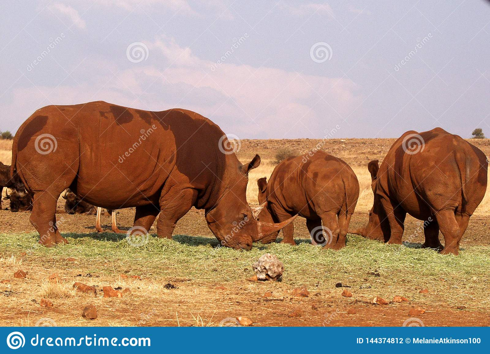Troupeau de rhinocéros en parc national de Kruger, Afrique du Sud