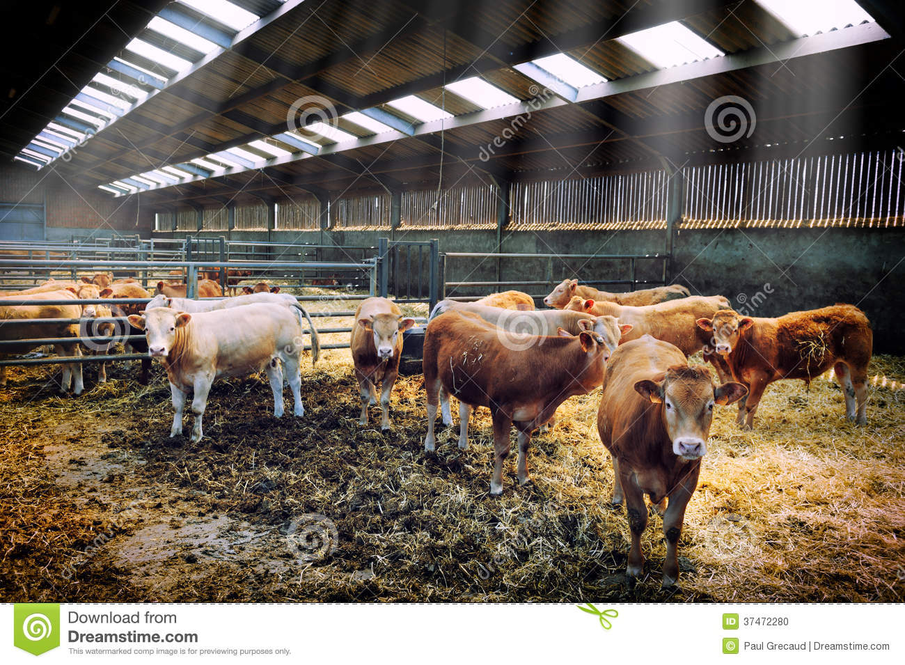 Troupeau de vaches dans l 39 table photo stock image 37472280 for Etable entravee vache