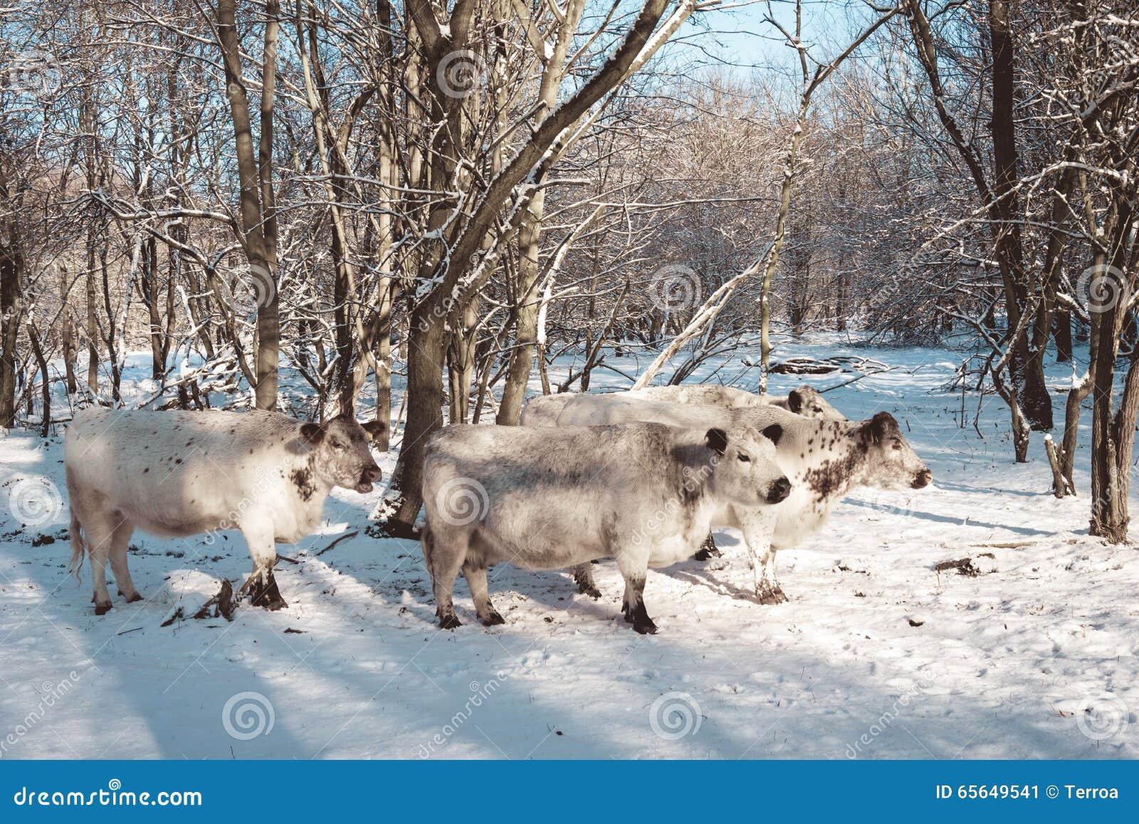 Troupeau de vaches dans un pâturage neigeux