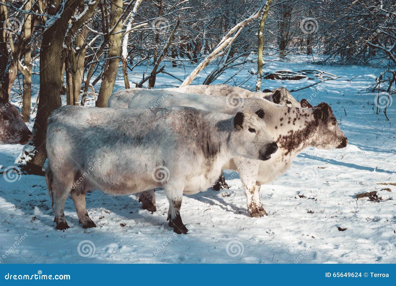 Troupeau de vaches dans un pâturage neigeux froid d hiver