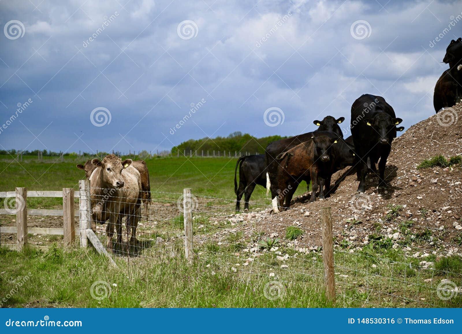 Troupeau de vaches semblant dramatique