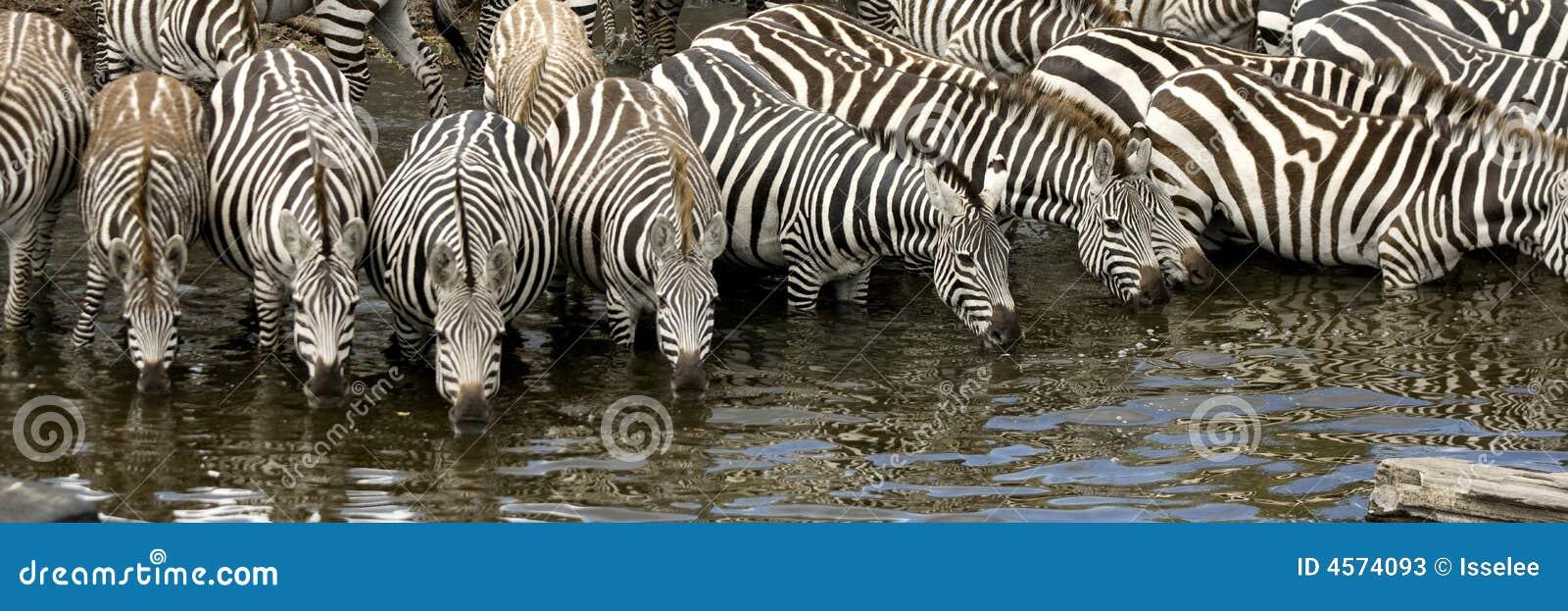 Troupeau de zèbre au masai mara Kenya