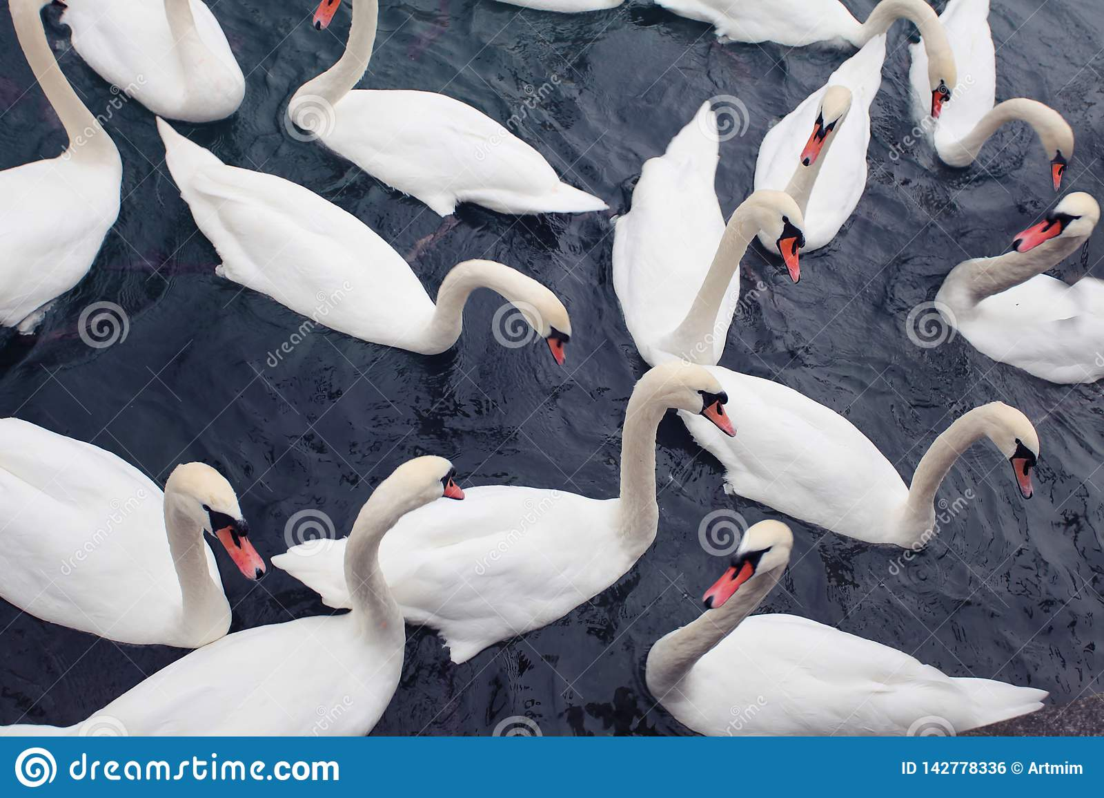 Troupeau des cygnes blancs flottant sur l eau foncée