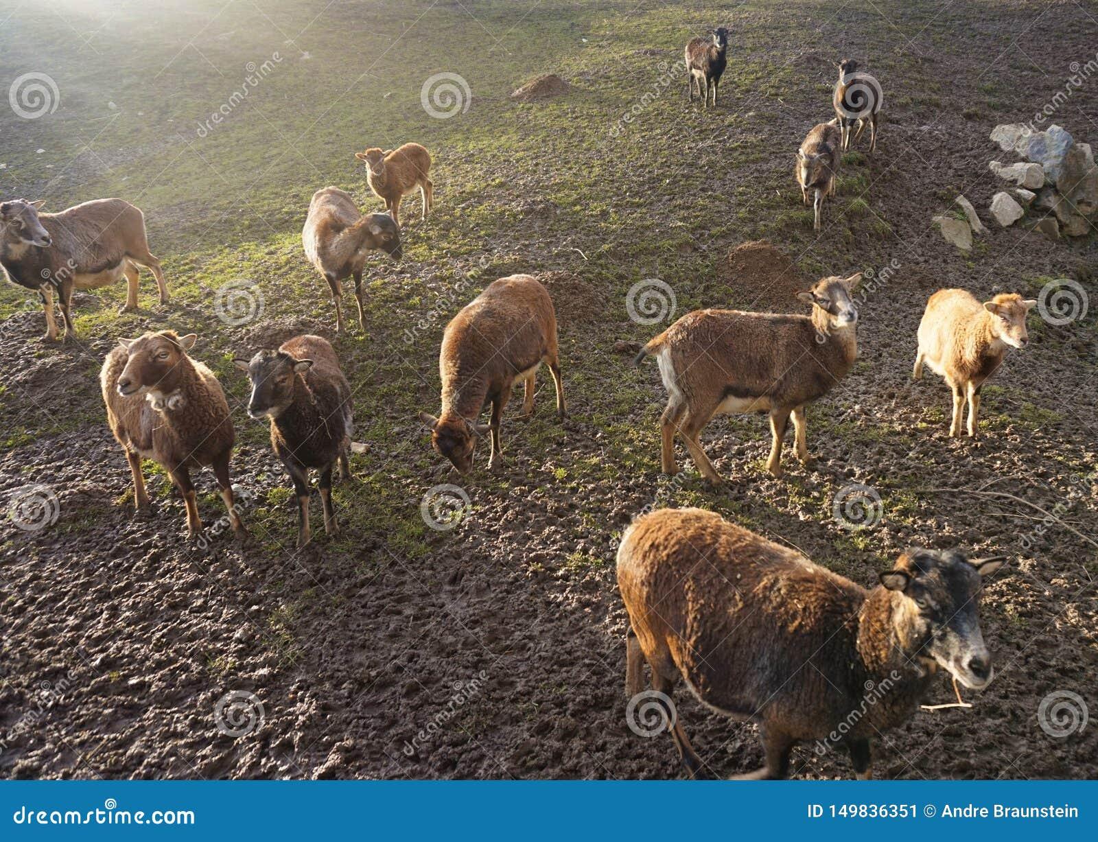 Troupeau des moutons au coucher du soleil sur le champ
